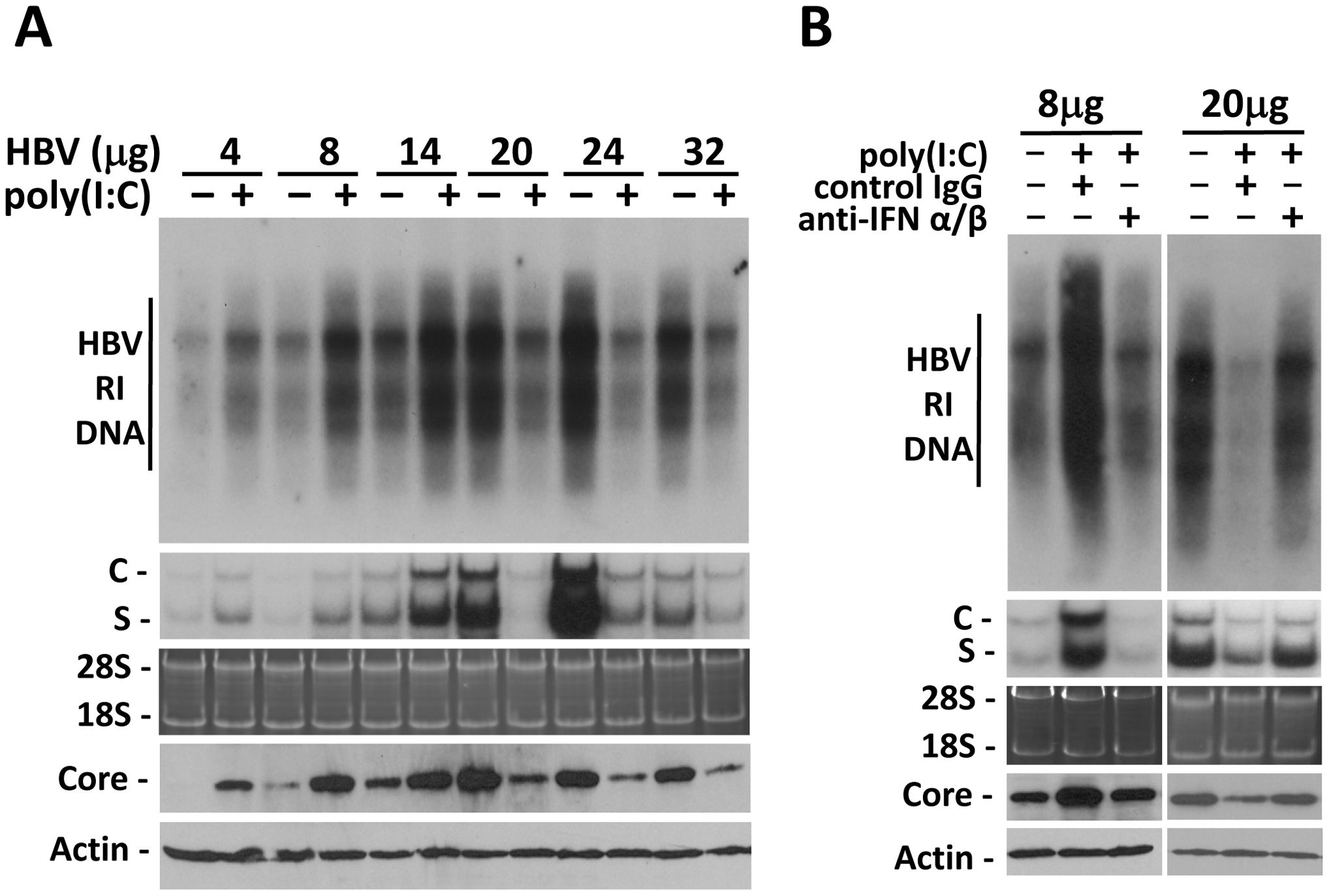Viral load-dependent effect of IFN- α/β on HBV in mice.