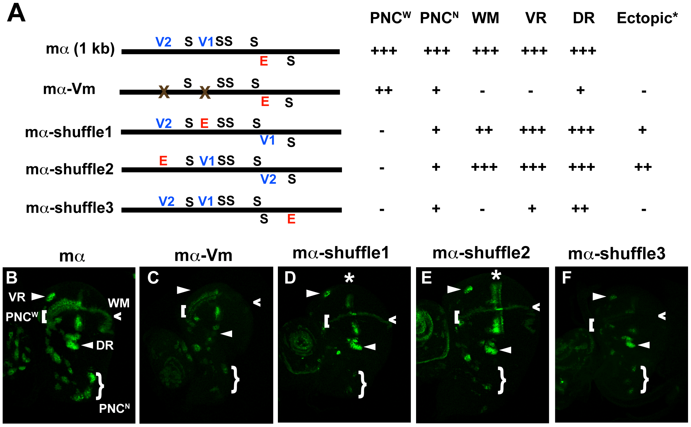 Rearranging required transcription factor binding motifs in the mα enhancer strongly affects its activity.