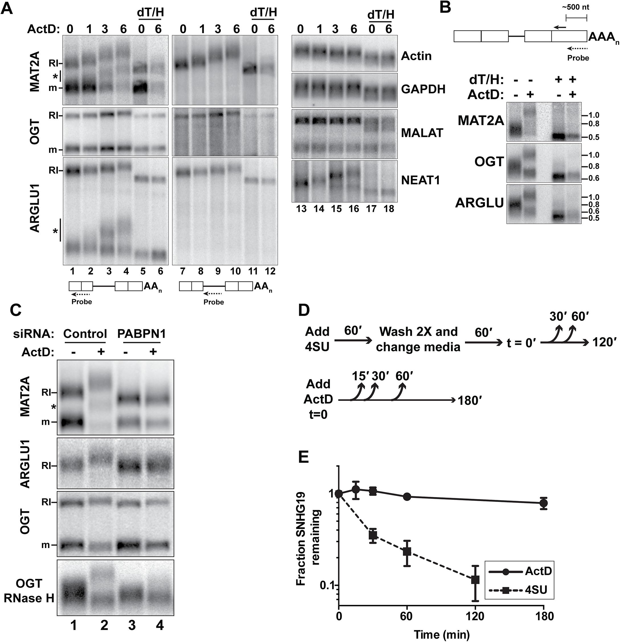 RI-RNAs are hyperadenylated upon ActD treatment.