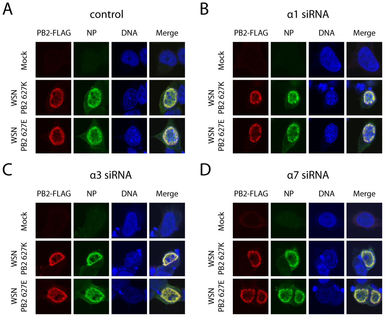 Importin-α silencing does not affect subcellular localization of PB2 or NP.