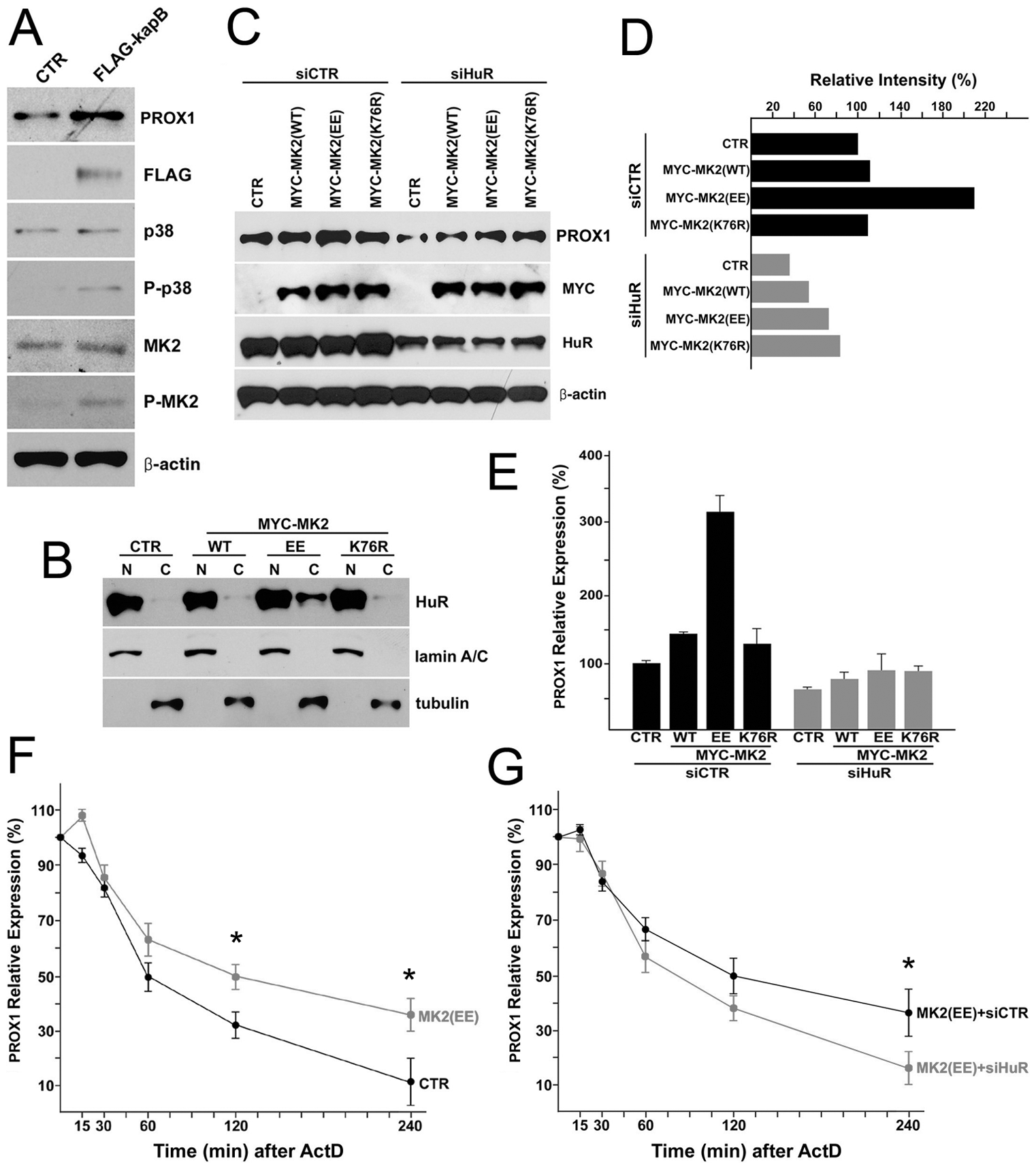 MK2 stimulated by kaposin-B activates the cytoplasmic accumulation of HuR protein and upregulates PROX1 mRNA stability.