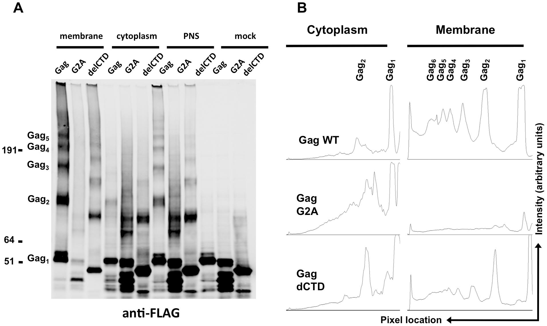 Multimerization of Gag, G2A-Gag, Gag-delCTD in plasma membrane and cytoplasm.