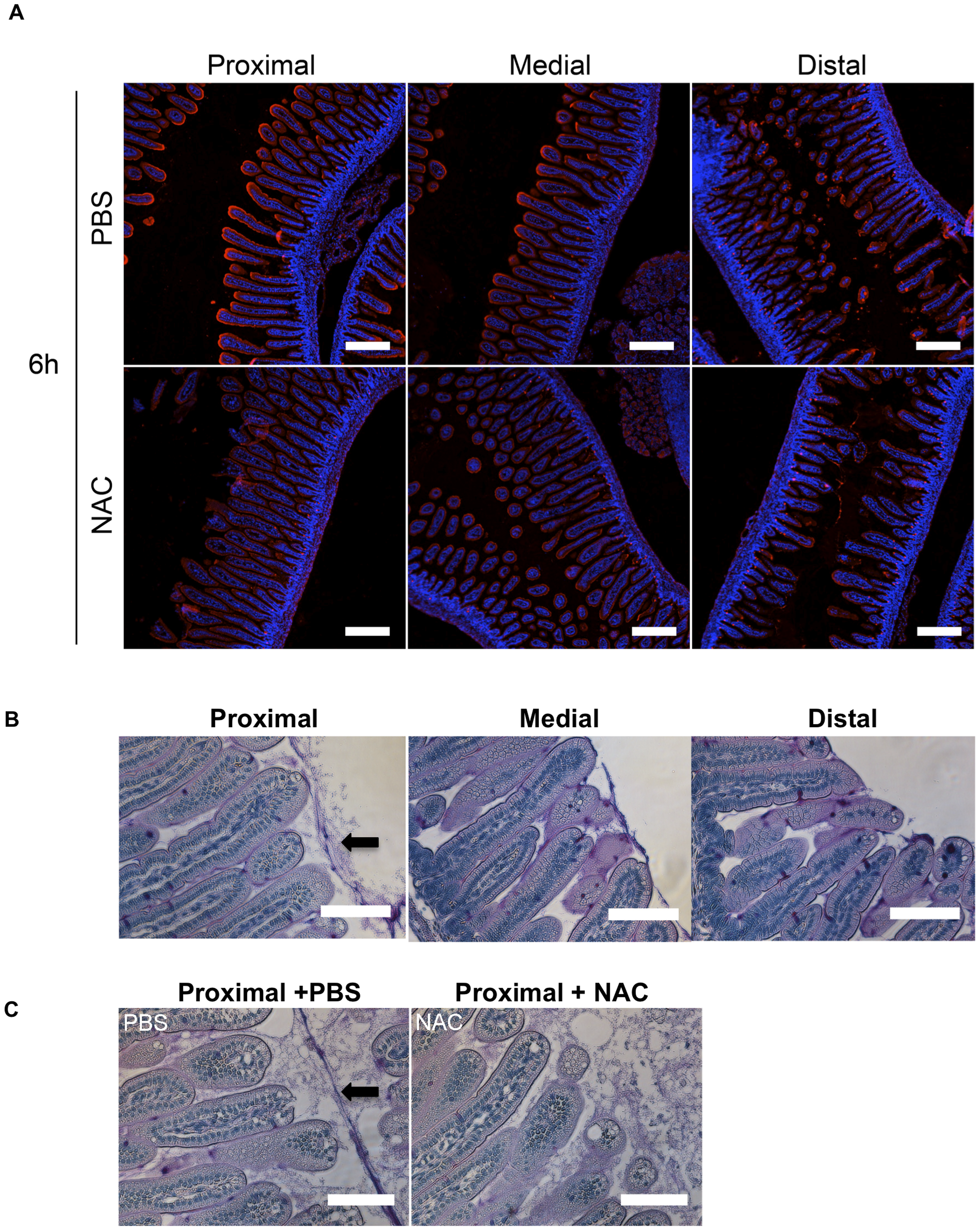 The intensity of WGA staining of the intestinal epithelium decreases along the length of the SI and can be reduced by N-acetyl-L-cysteine (NAC) treatment.