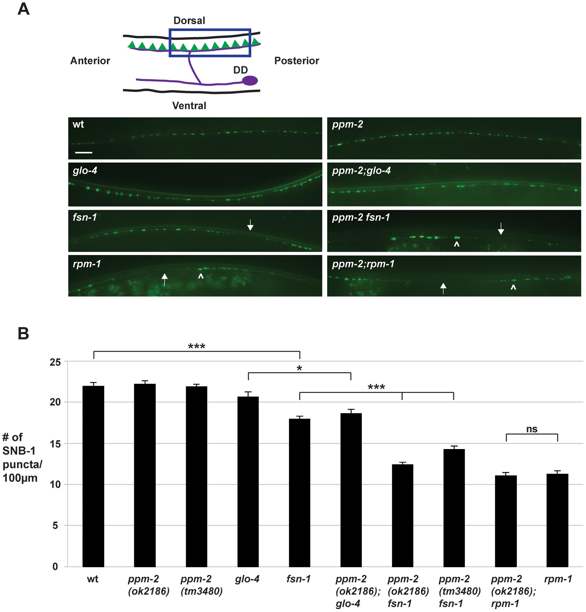 <i>ppm-2</i> regulates synapse formation by GABAergic motor neurons.