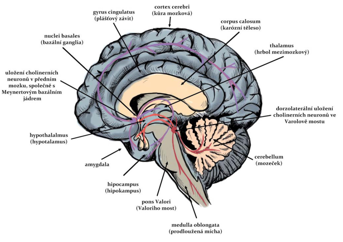 Cholinergní dráhy v CNS člověka.