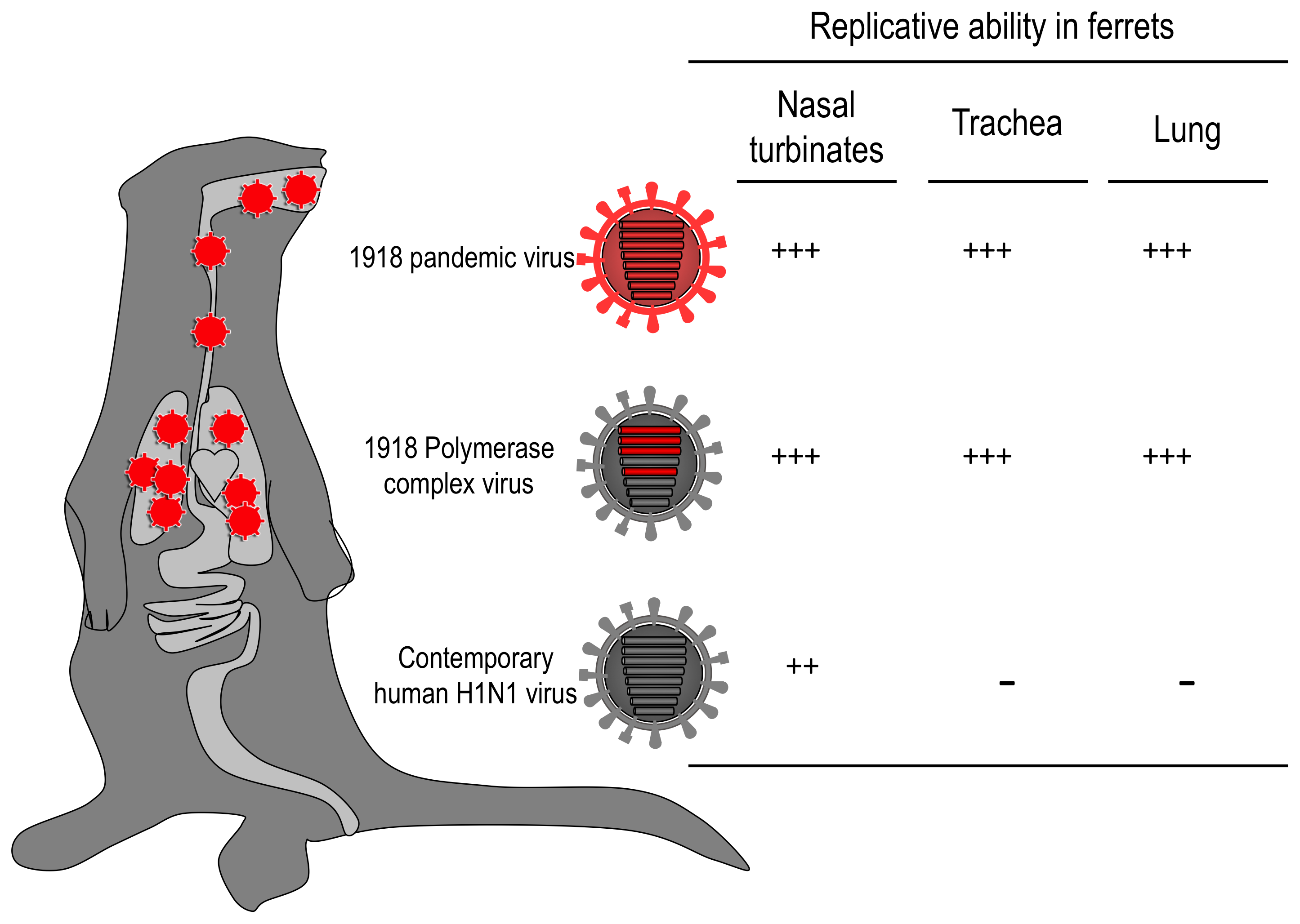 The role of the viral RNA polymerase complex in the replication properties of the 1918 virus in ferrets.