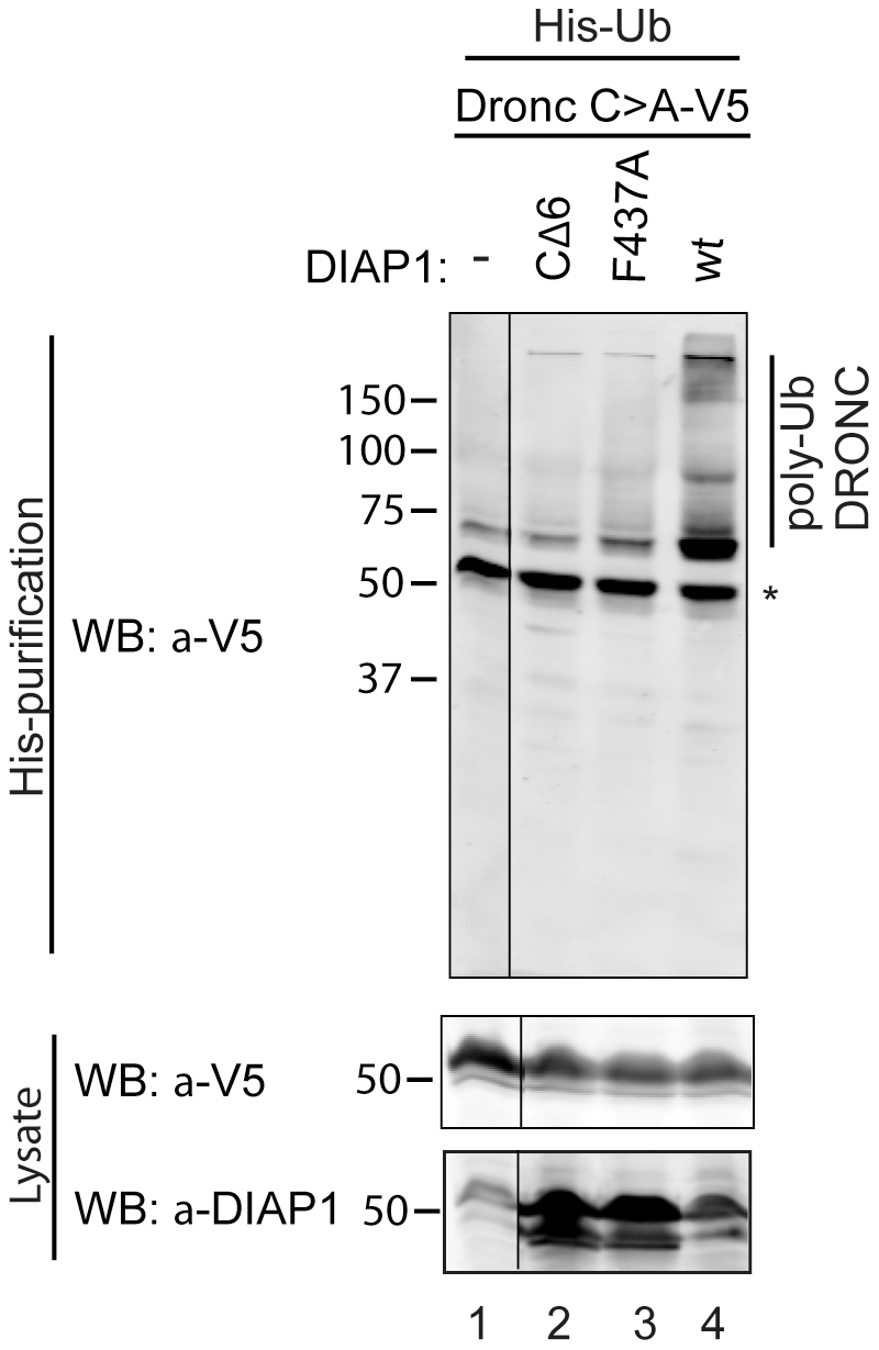 DIAP1 ubiquitylates DRONC in S2 cells.