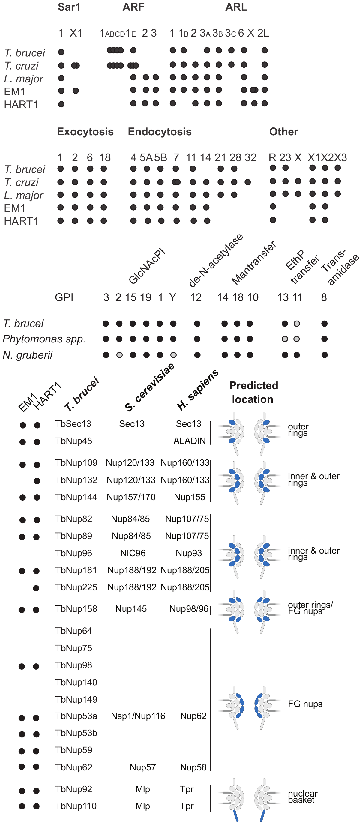 ARF, Rab NUP and GPI pathways in <i>Phytomonas</i> EM1 and HART1.