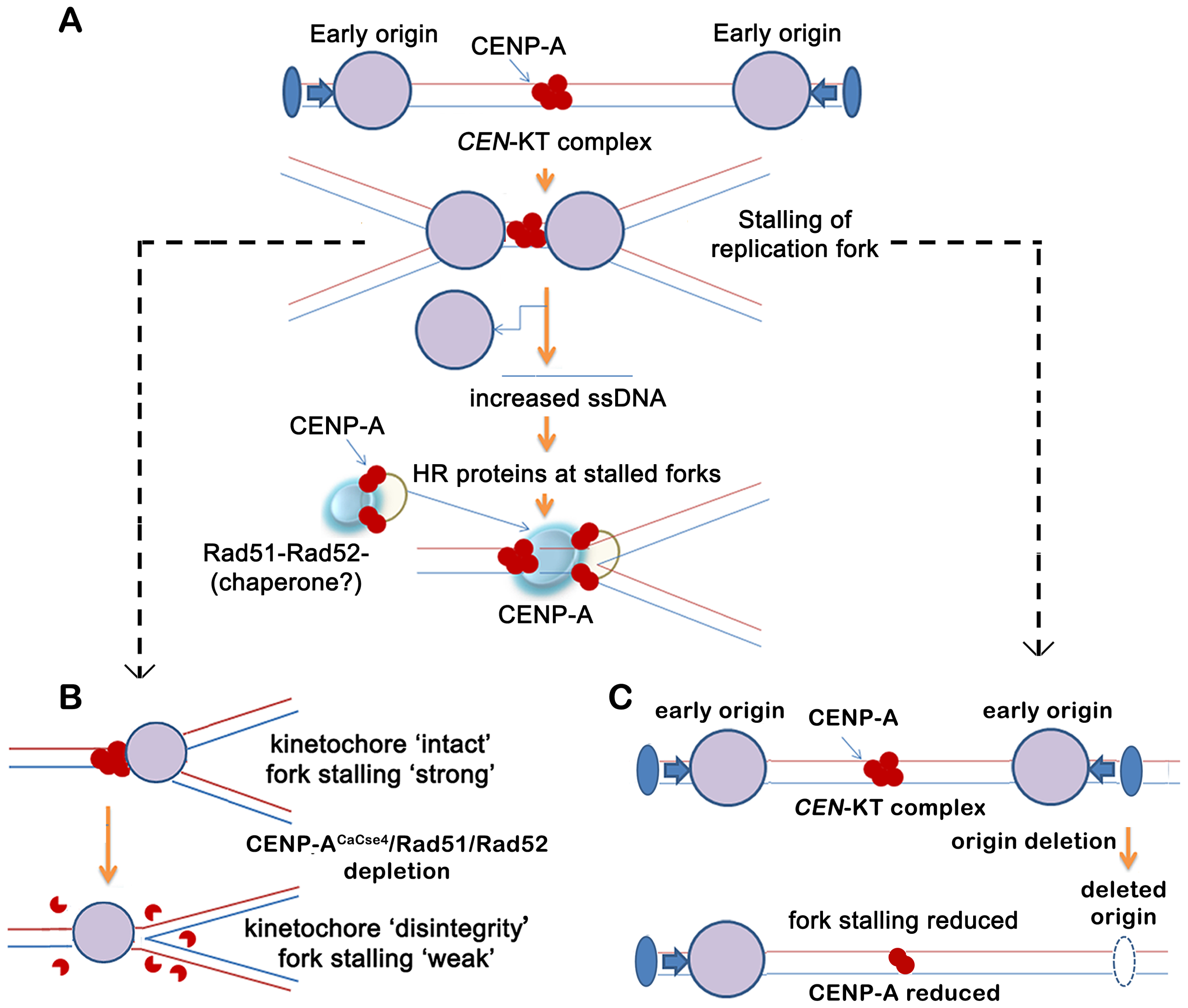 A replication-coupled repair based model of centromere inheritance.