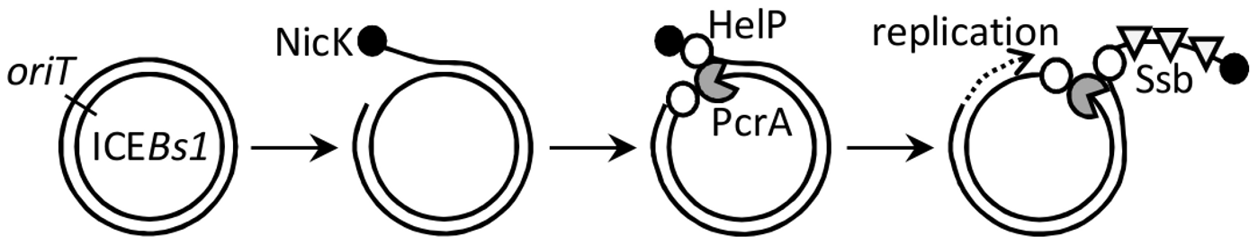 Model for association of the relaxase, helicase, HelP, and Ssb with ICE<i>Bs1</i> DNA.
