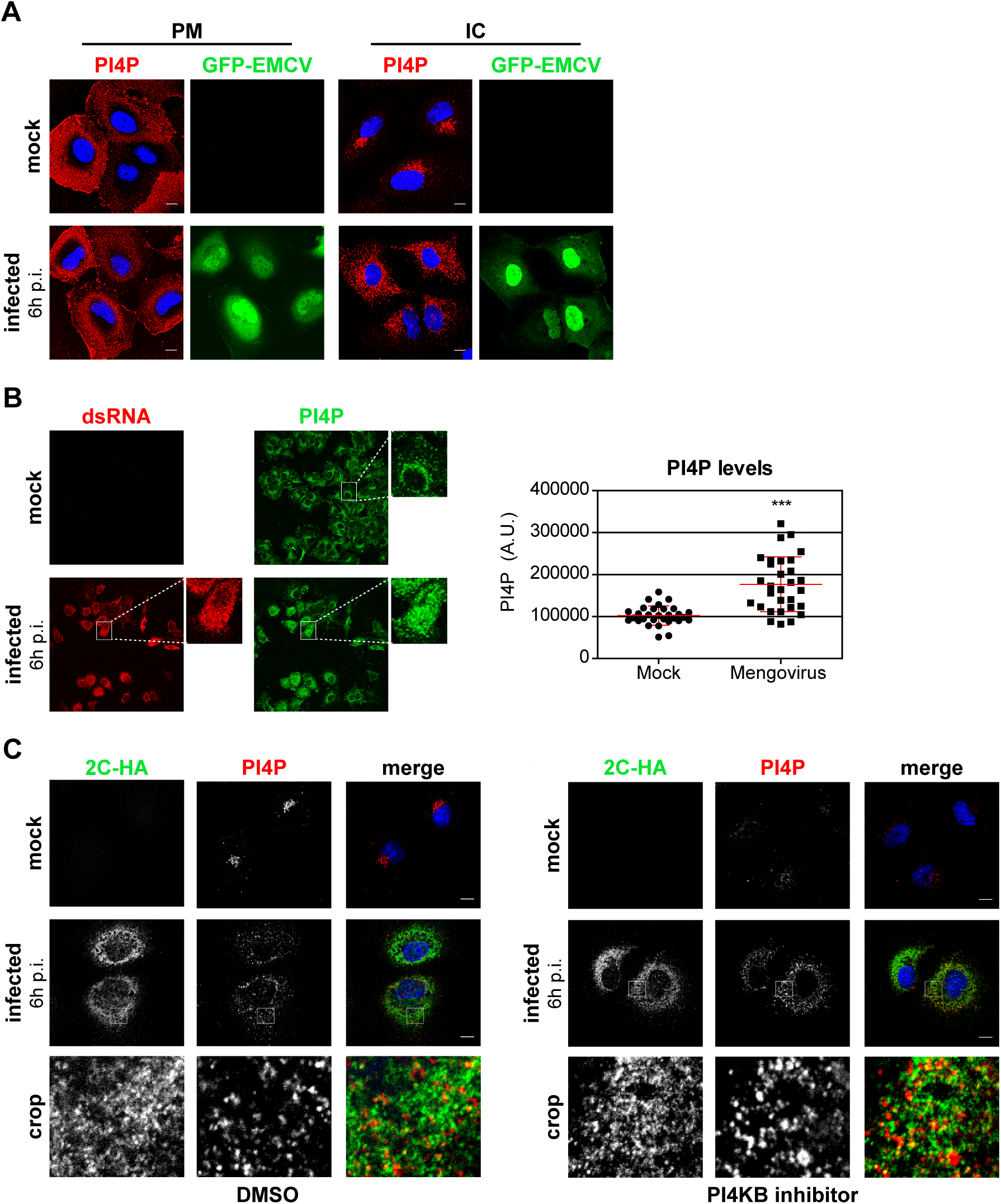 PI4P homeostasis is affected upon EMCV infection.