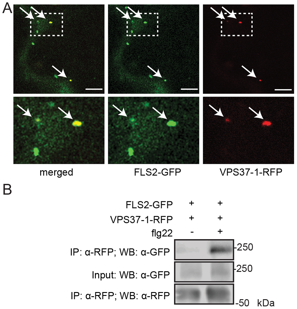 FLS2 is present at ESCRT-I-positive compartments and forms an inducible complex with VPS37-1.