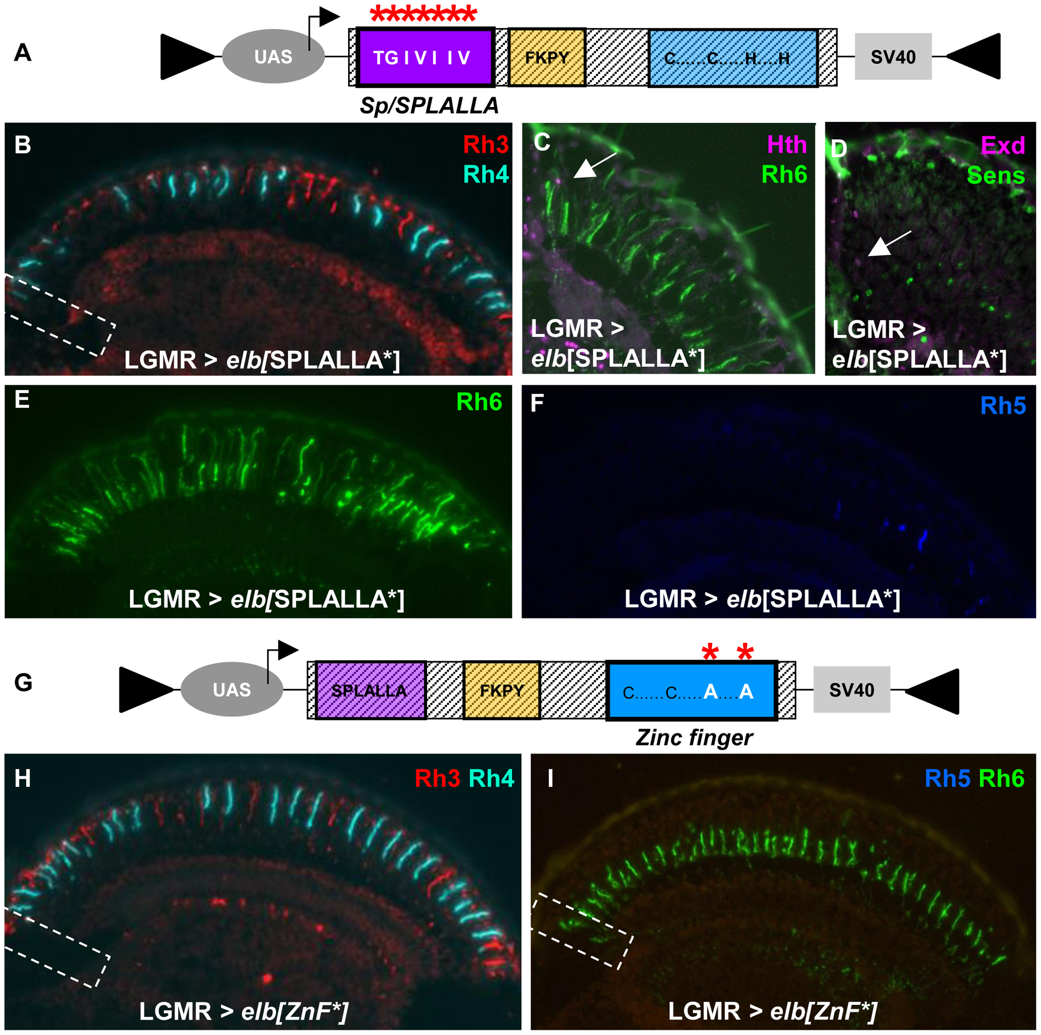 Mutagenesis of Sp/SPLALLA motif or zinc finger transform Elb into a dominant-negative.
