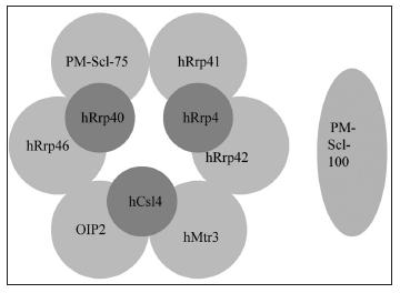 PM-Scl komplex (lidský exozóm) je tvořen prstencem ze šesti proteinů s RNázovou aktivitou (PM-Scl-75, hRrp42, hRrp46, hRrp41, hMtr3, OIP2), na kterých leží tři proteiny schopné vázat RNA (hRrp4, hCsl4, hRrp40).K jádrovému komplexu exozómu se mohou připojovat další proteiny, např. PMScl100 (upraveno dle (8)).