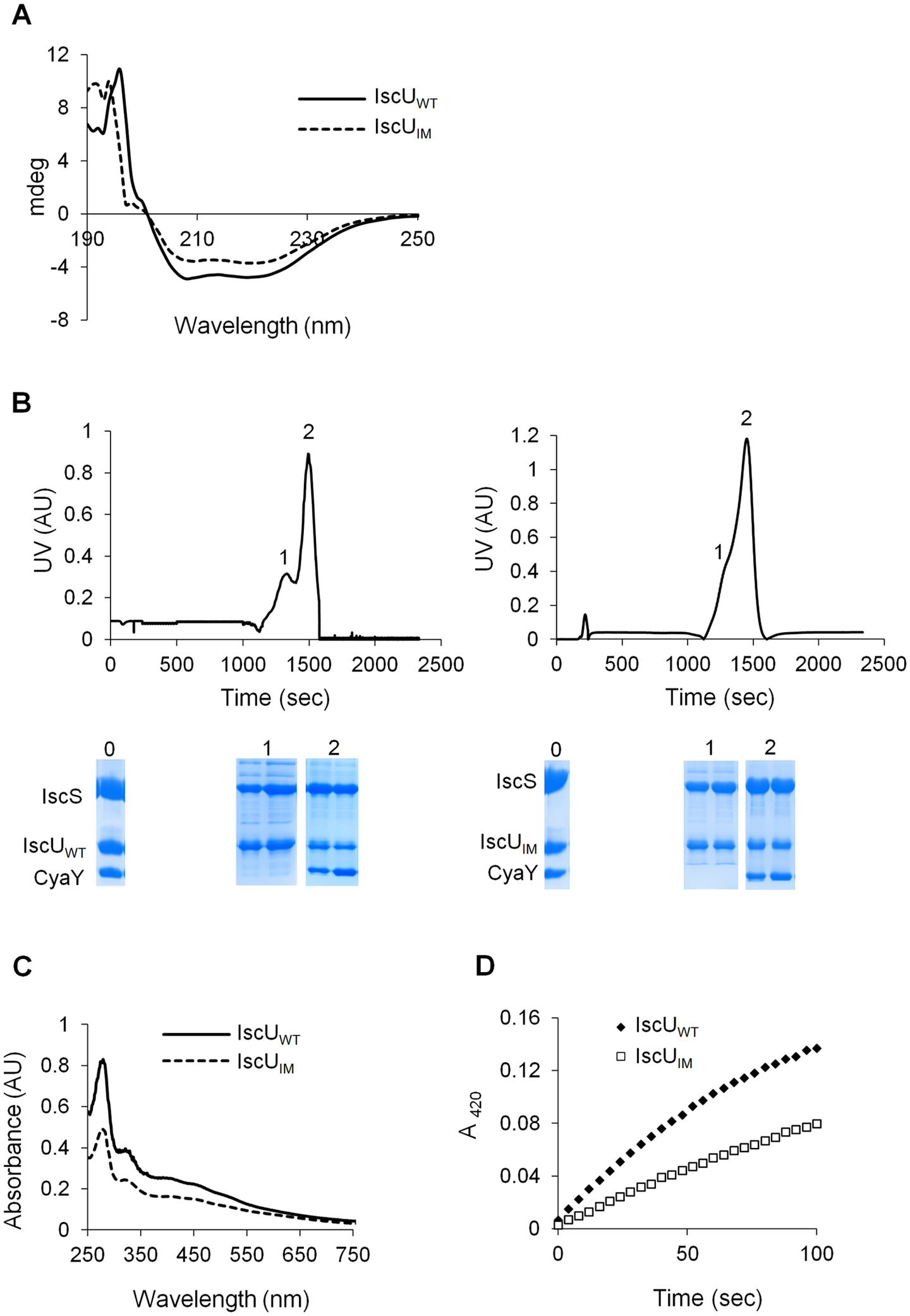 Analysis of IscU<sub>IM</sub> <i>in vitro</i>.