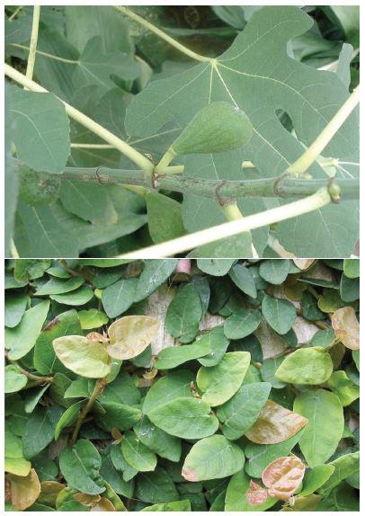 Moraceae (zleva: Ficus carica, Ficus pumila)