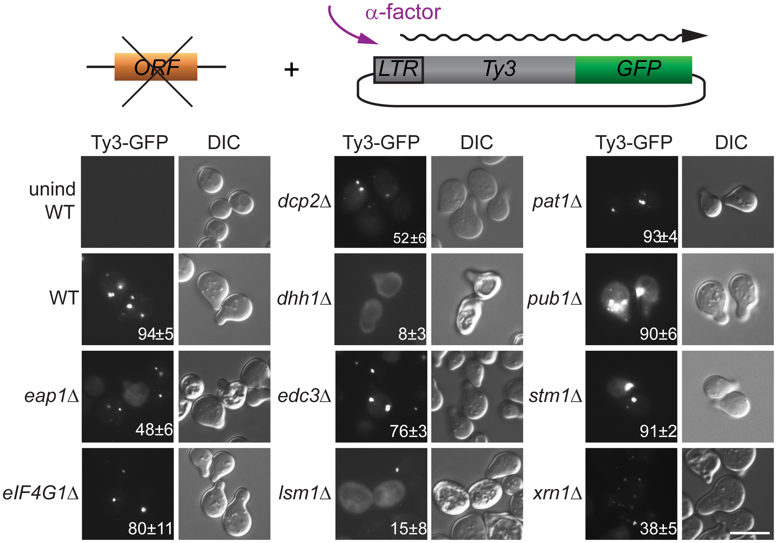 Ty3 Gag3 foci formation is disrupted in cells depleted for PB host factors.