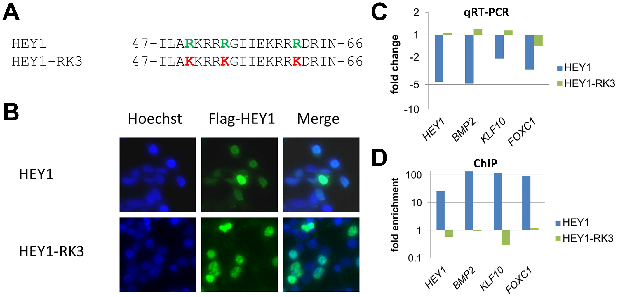 Mutation of putative DNA contacting amino acids in the HEY1 basic domain inactivates its function.