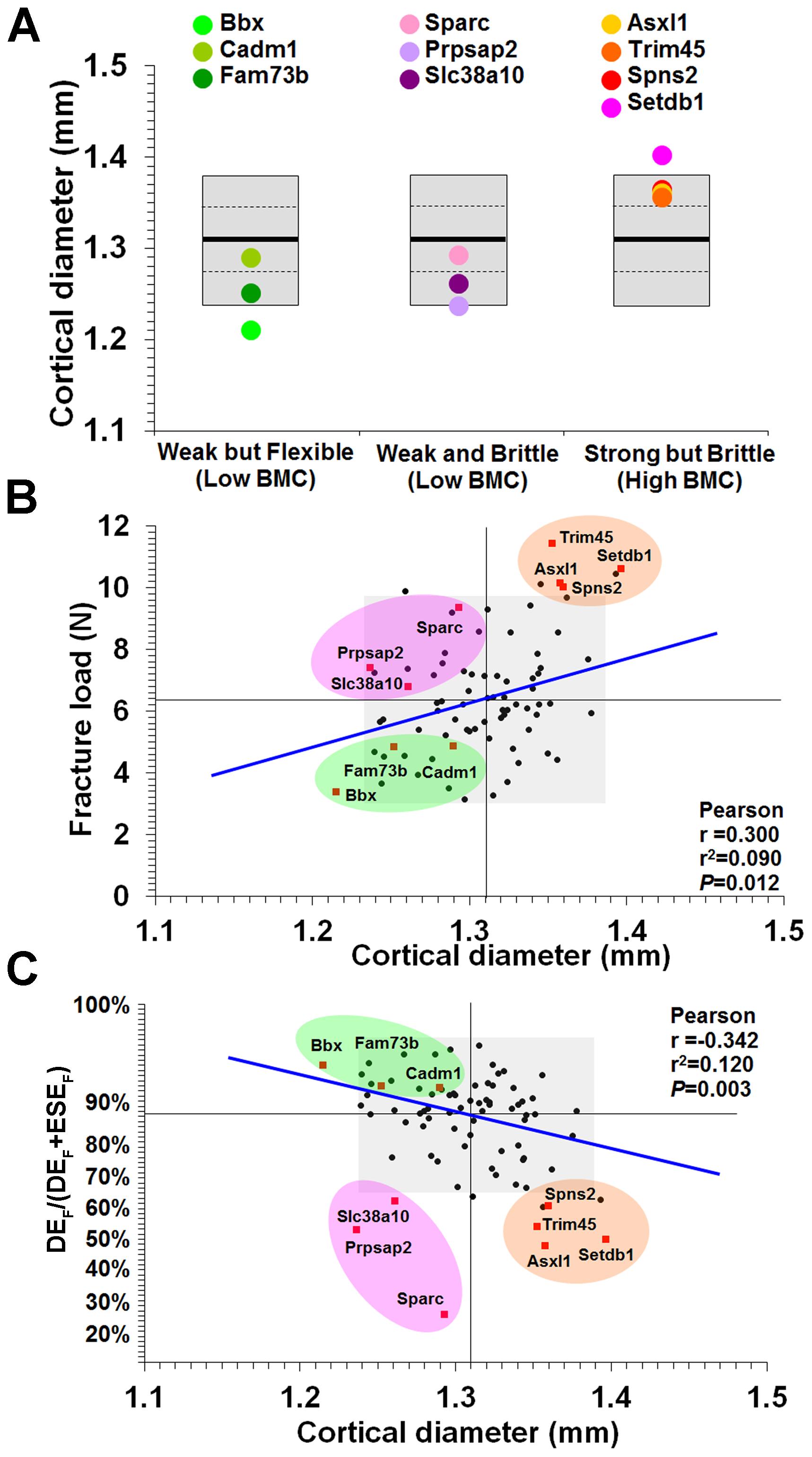 Relationship between mid-diaphyseal cortical bone diameter and strength.