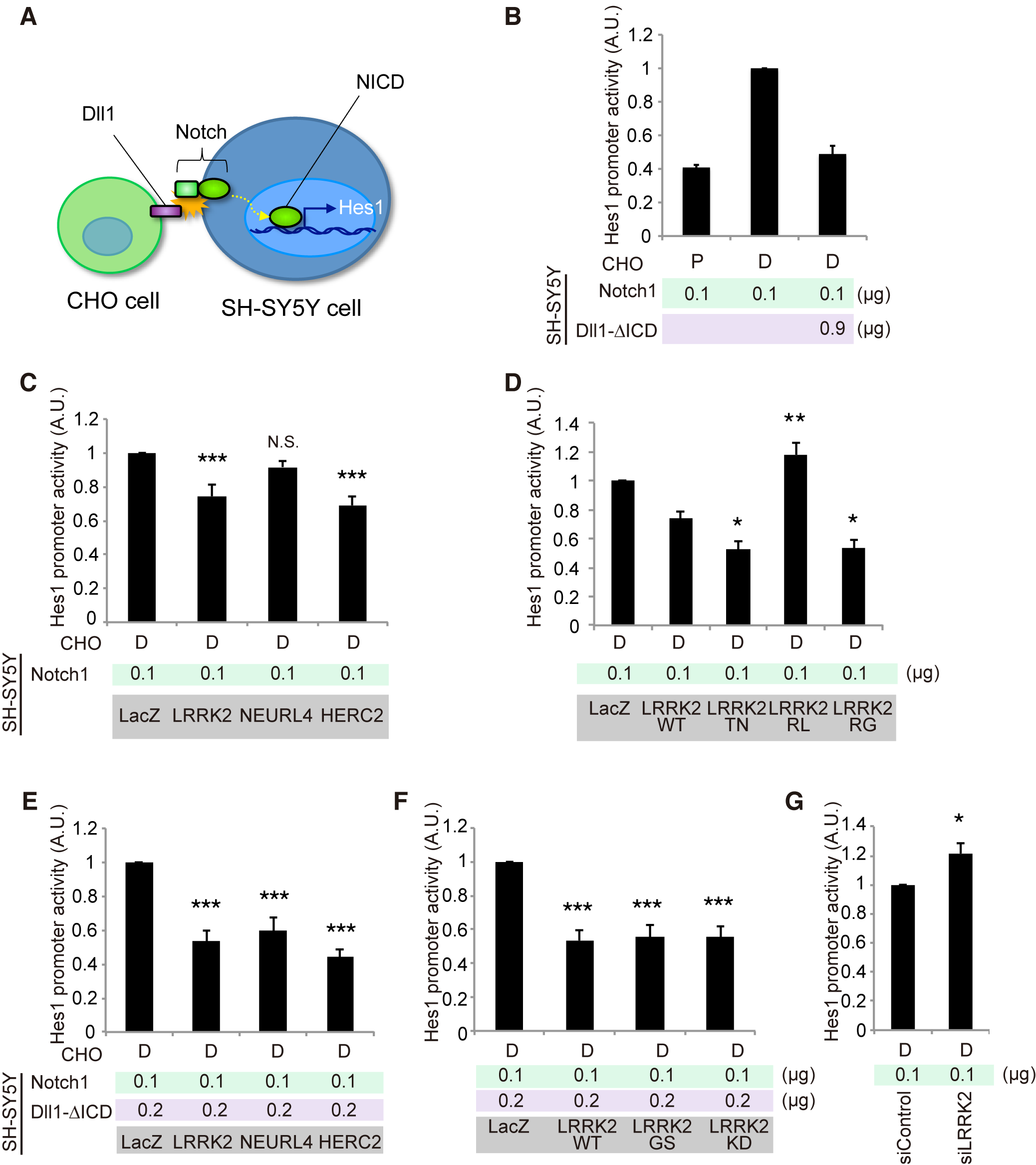 LRRK2, NEURL4 and HERC2 modulate Notch signal intensity in cultured cells.