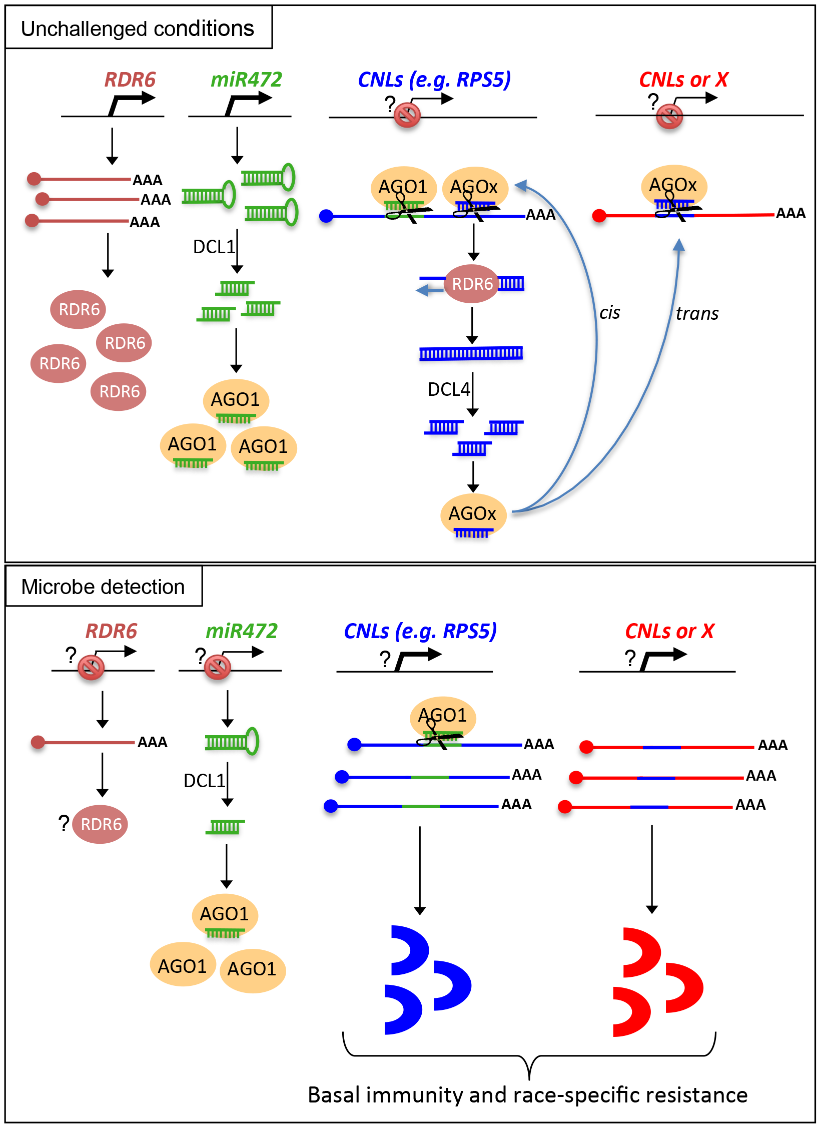 Schematic representation illustrating the relationship between miR472/RDR6 through CNL regulation during Arabidopsis immunity.