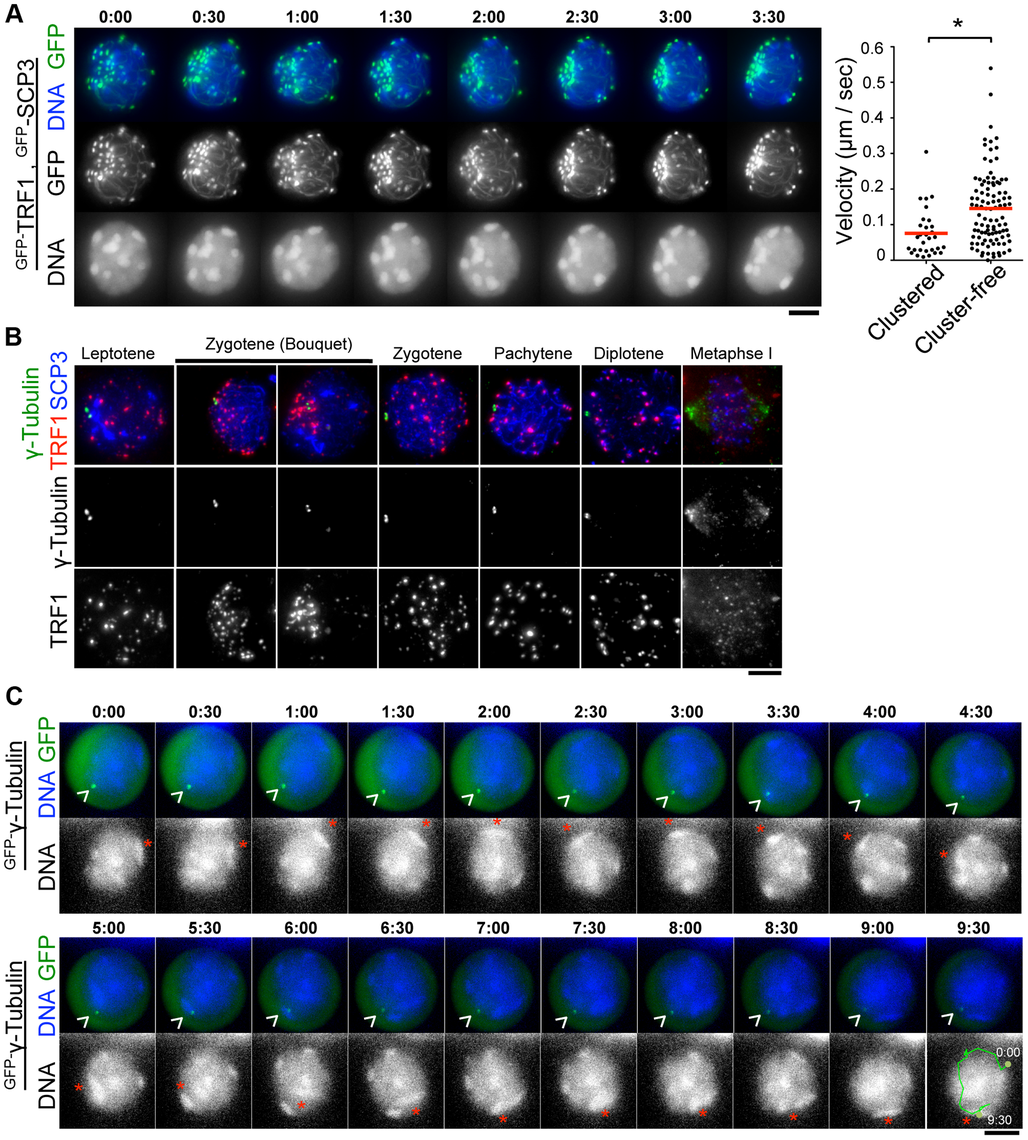 Stable MTOCs positioning during rapid chromosome movements.