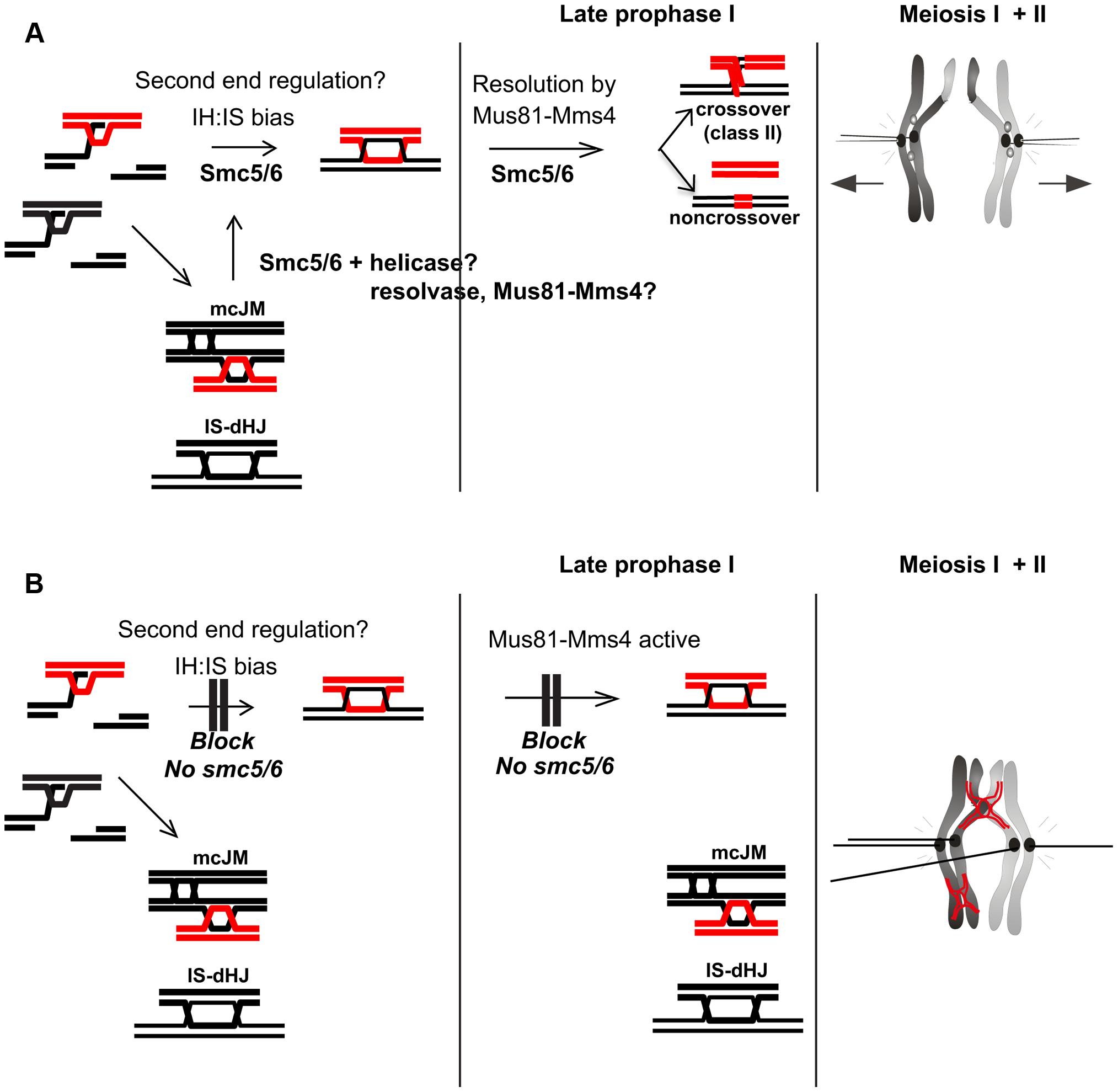 Model for Smc5/6 function during meiosis.