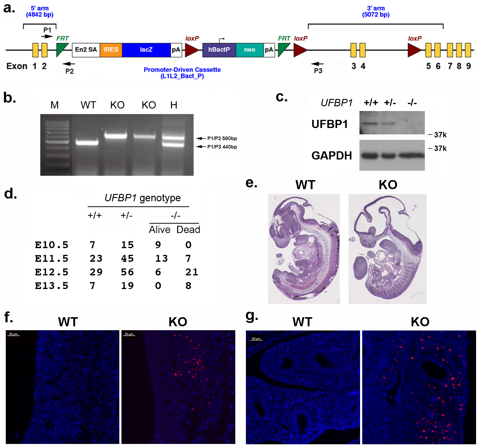 UFBP1 is essential for embryonic development.