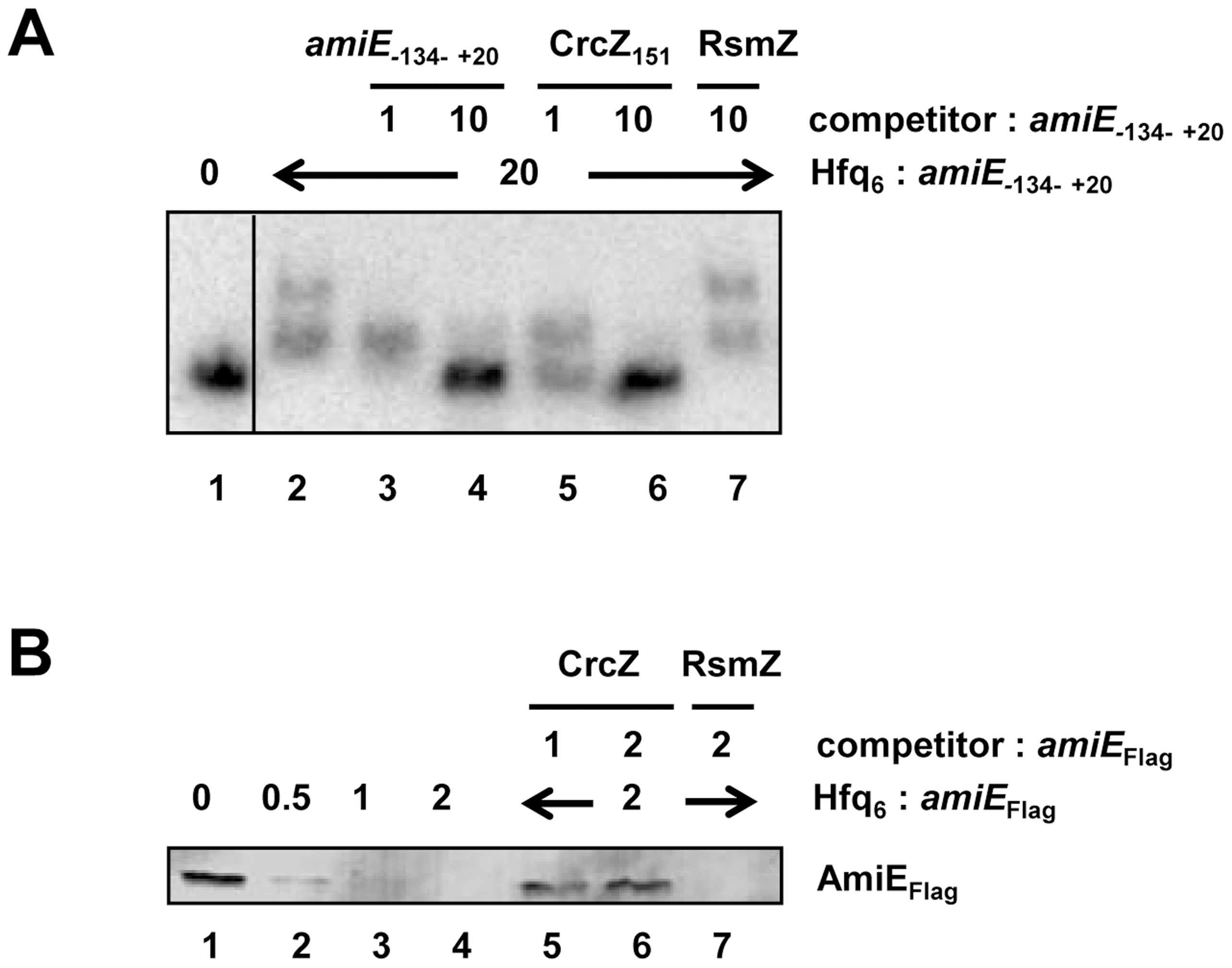 CrcZ competes with <i>amiE</i> for Hfq.
