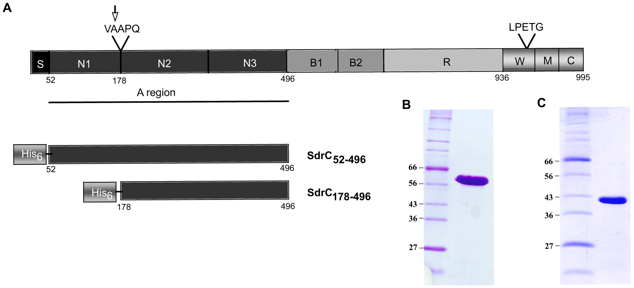 Structural organization of SdrC and recombinant proteins.