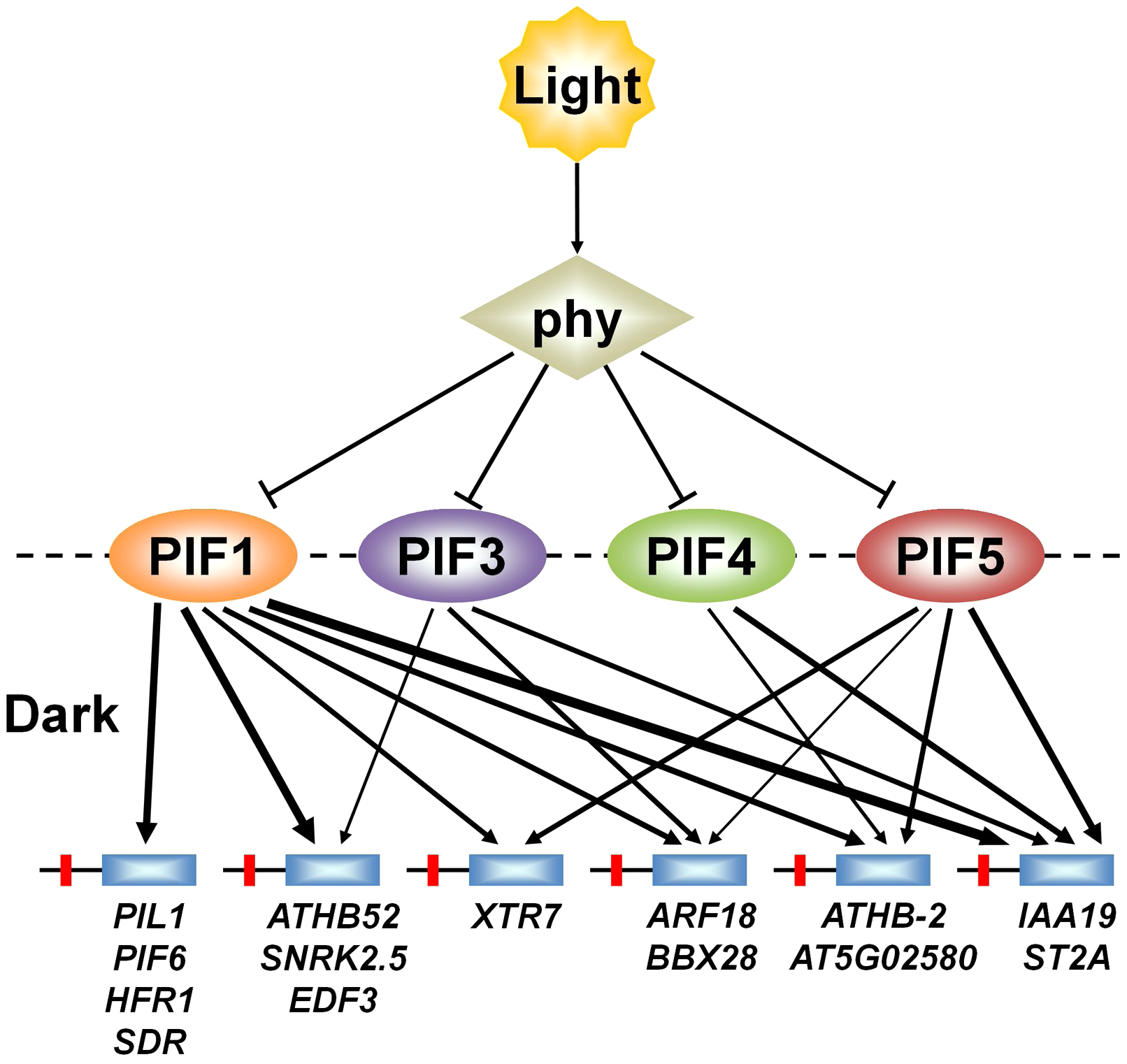 PIFs direct differential light-signal channeling to the phy-regulated transcriptional network.