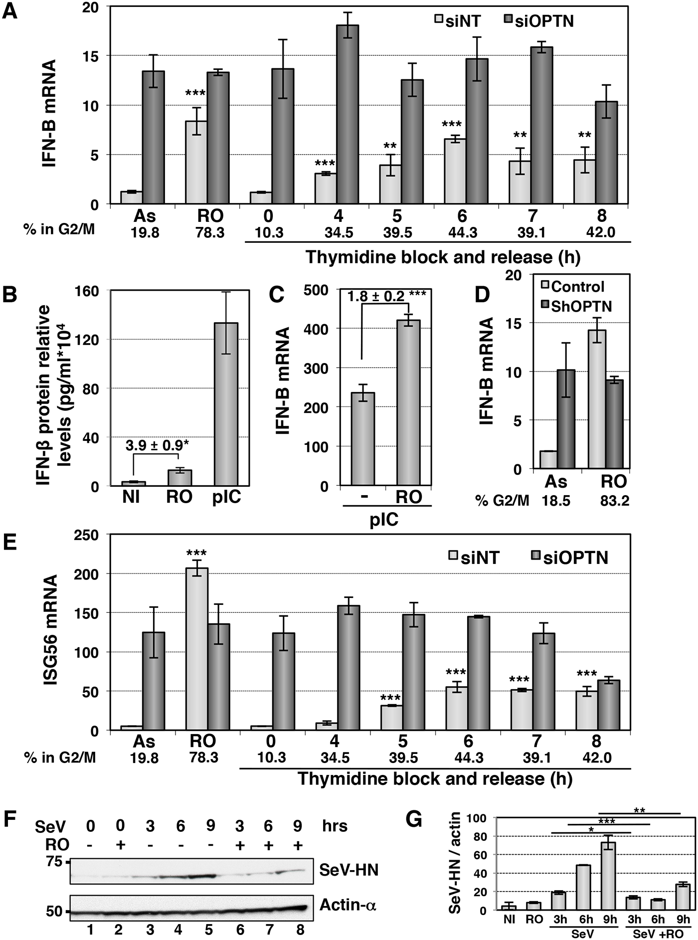 The IFN/ISG signaling pathway is induced in G2/M synchronized cells.
