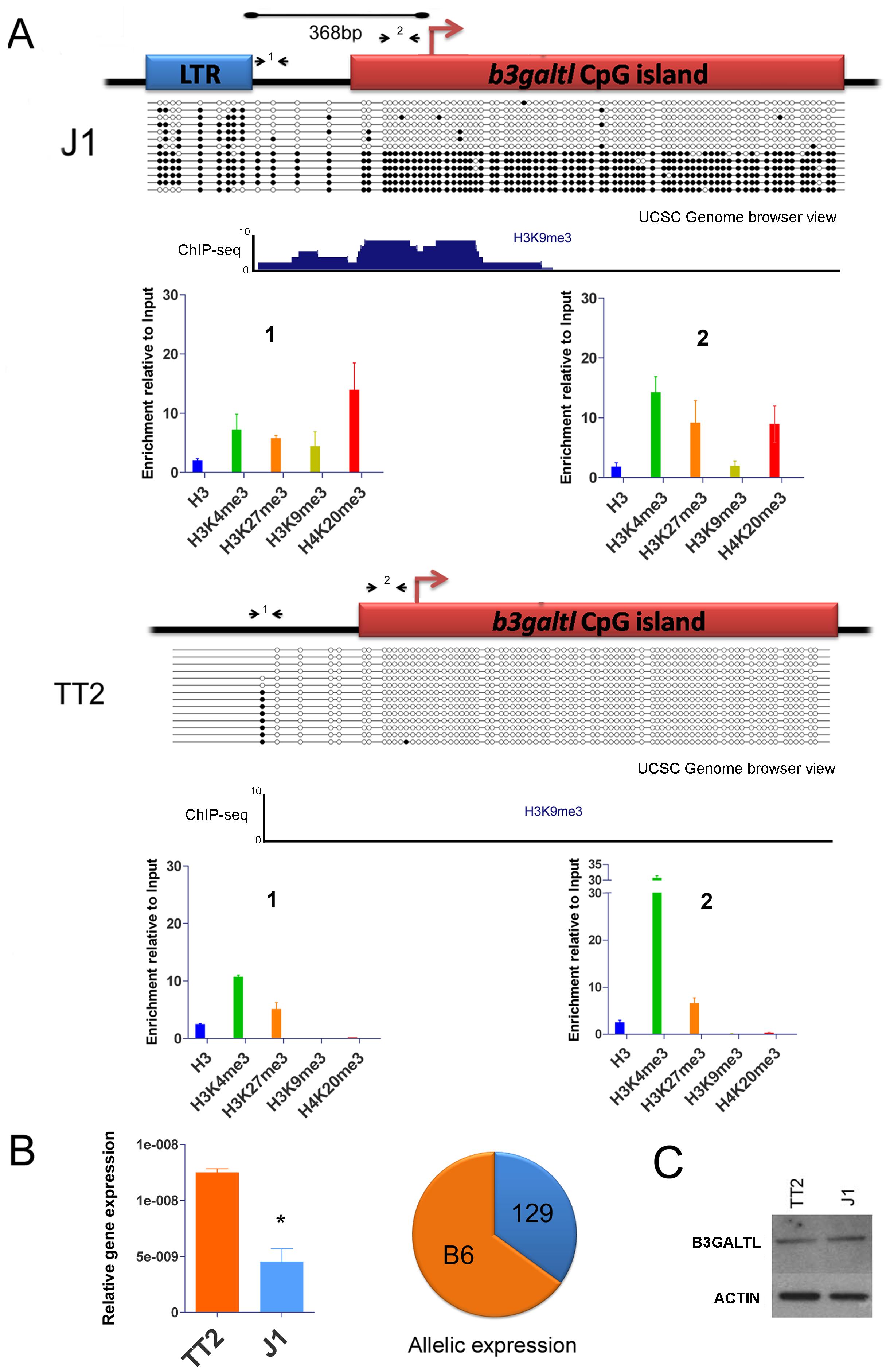 Impact of IAP-induced chromatin on the <i>B3galtl</i> gene.