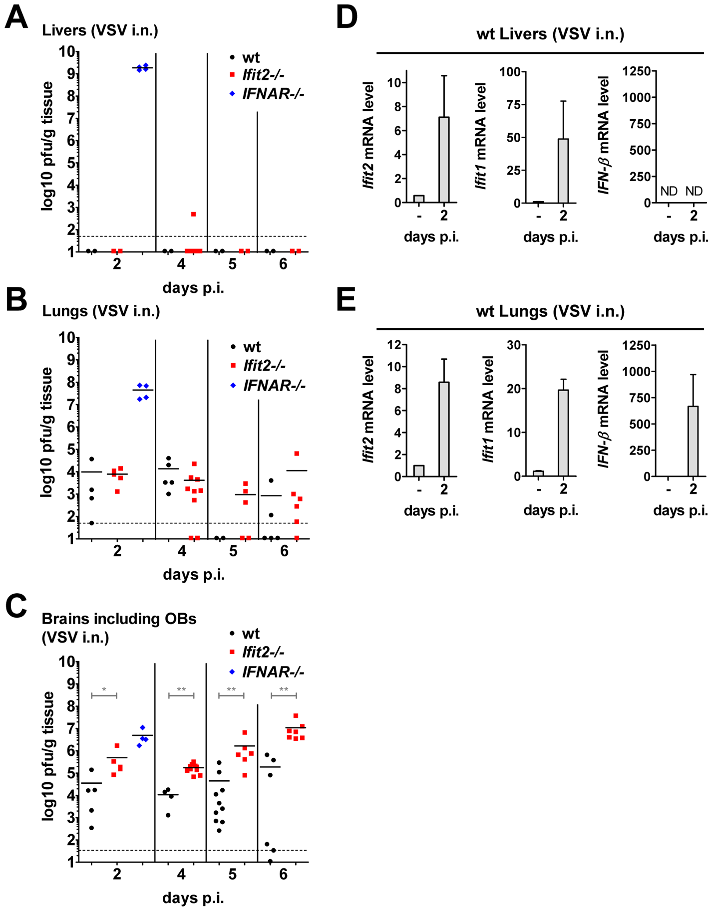 Unlike the brain, other organs of <i>Ifit2<sup>−/−</sup></i> mice are not more susceptible to intranasal VSV infection.
