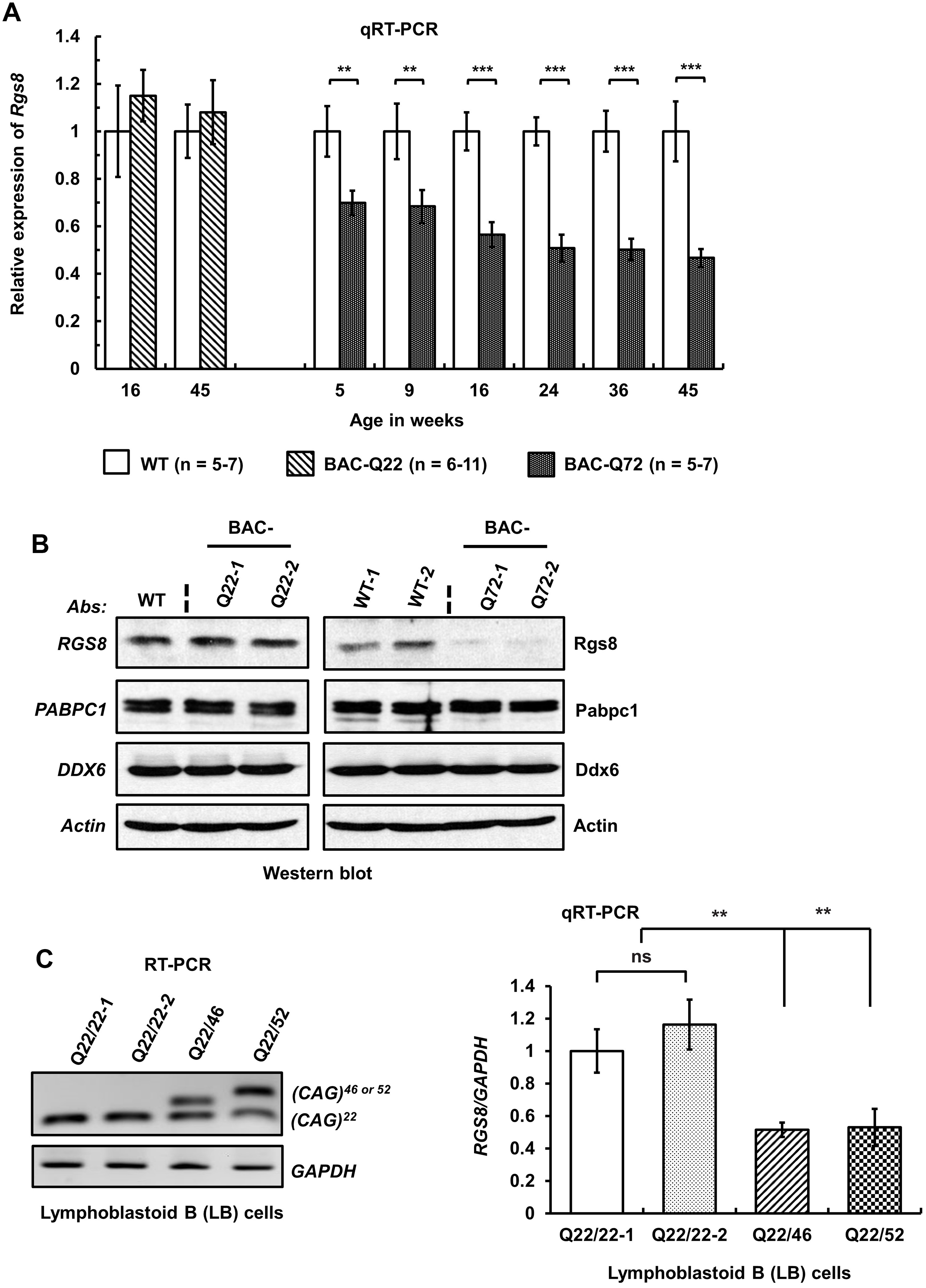 Decreased steady-state levels of <i>Rgs8</i> message and protein in BAC-Q72 mice.