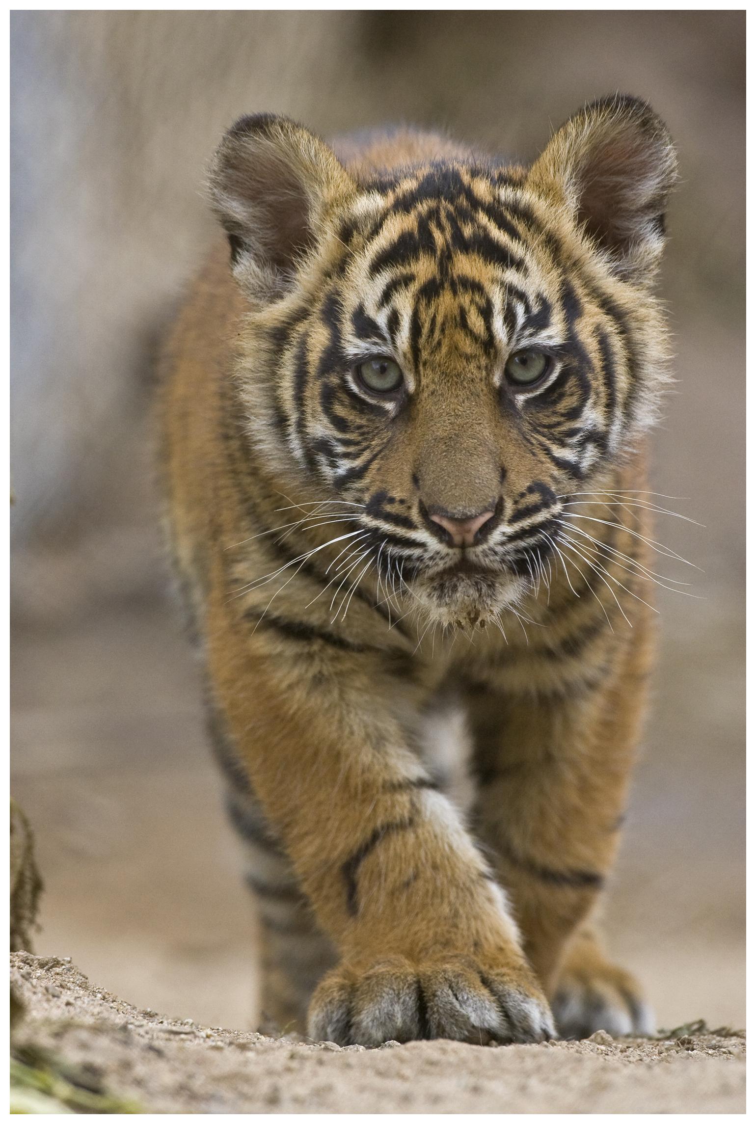 Sumatran Tiger cub.
