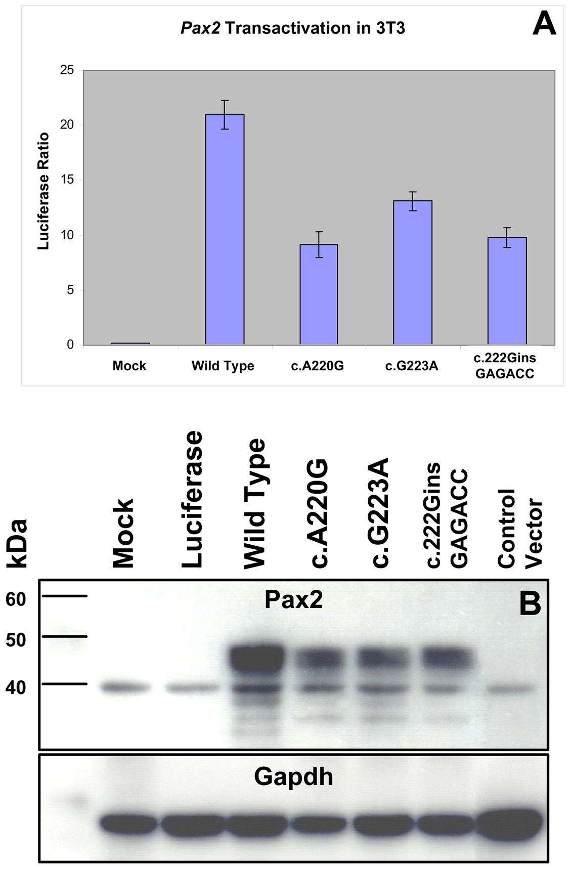 Comparison of wild-type and mutant Pax2 protein transactivation and expression in cell culture.