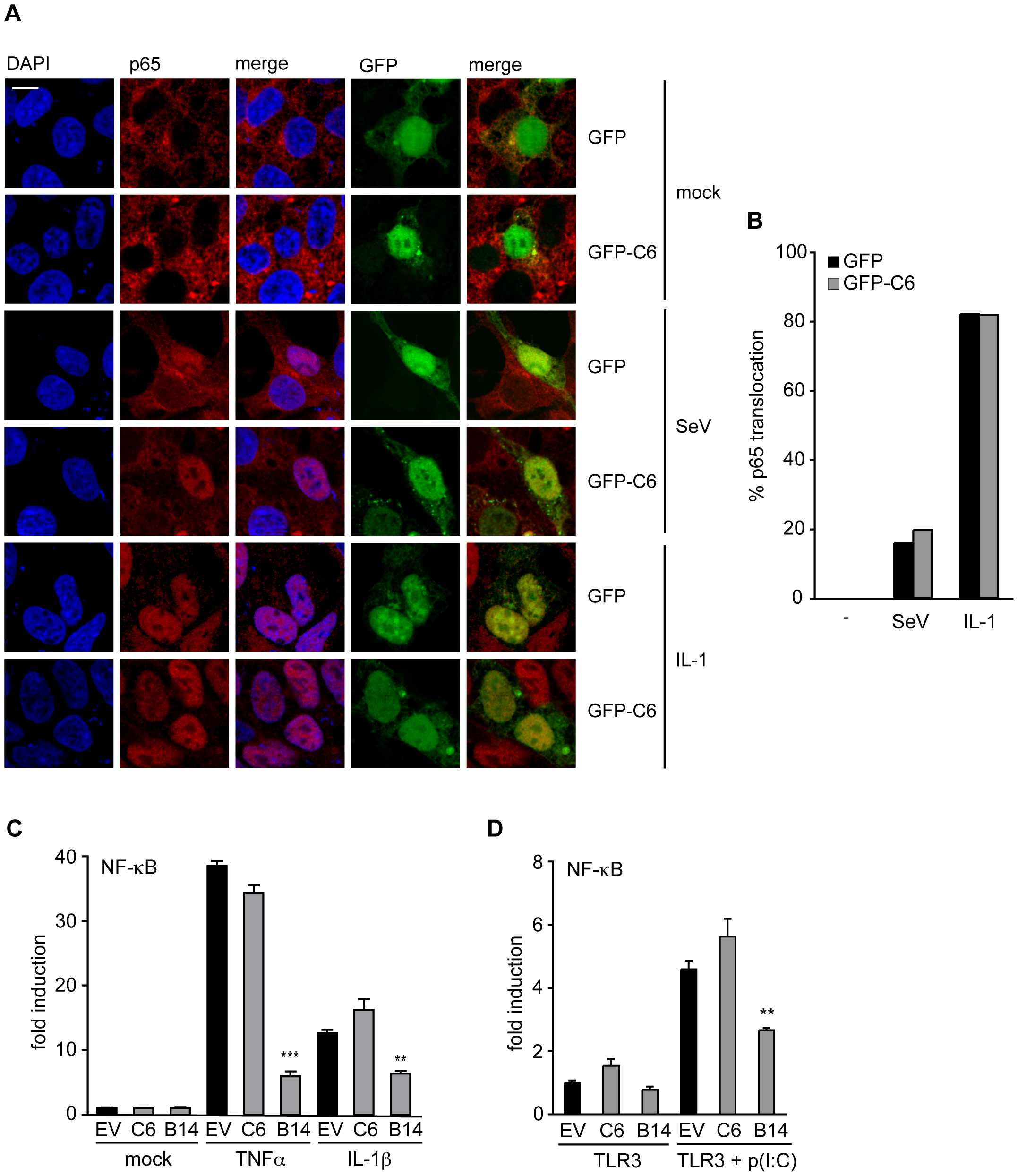 C6 does not inhibit the translocation or activation of NF-κB.