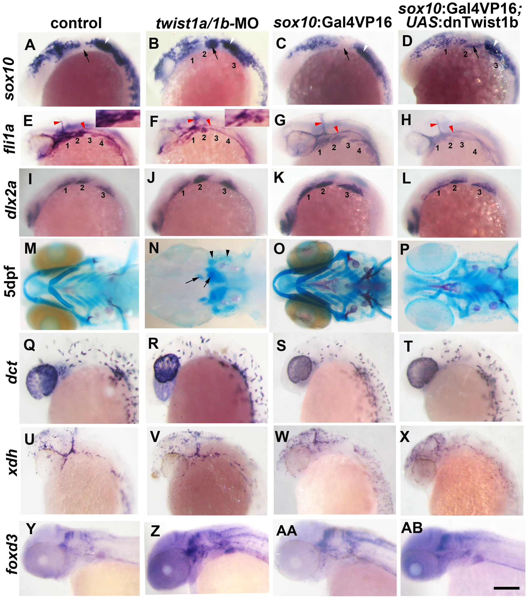 Twist1 genes are required for ectomesenchyme specification in zebrafish.