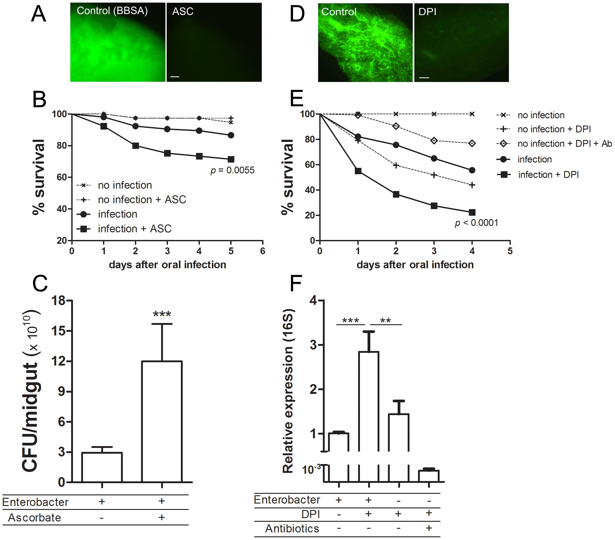 Redox modulation of bacterial growth in the midgut.