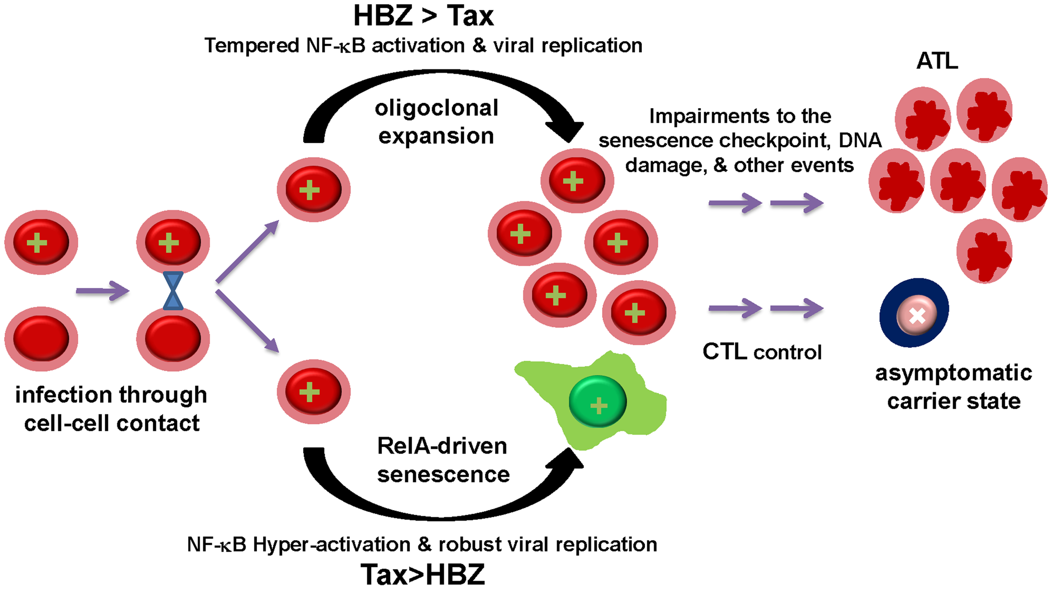 The balance between Tax and HBZ expression regulates the outcome of HTLV-1 infection.