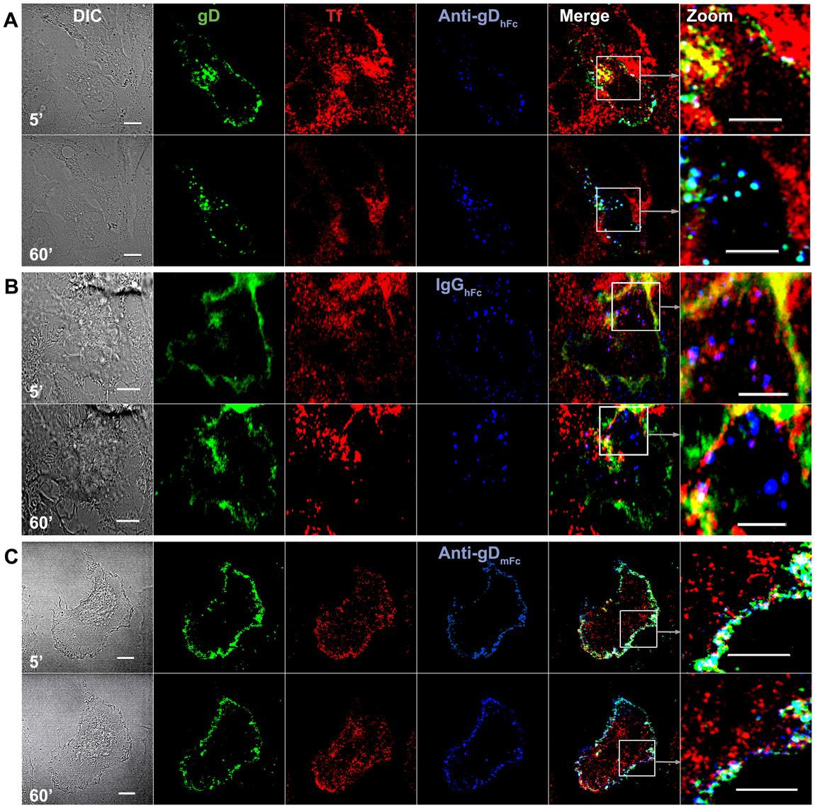 Endosomal trafficking of HSV-1 gD and IgG under ABB-permissive and non-permissive conditions.