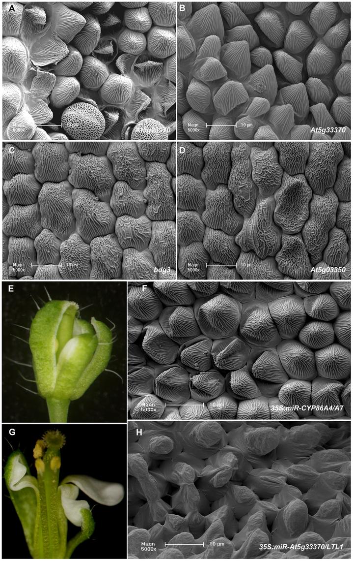 Putative downstream target genes of SHN transcription factors in patterning floral organs.