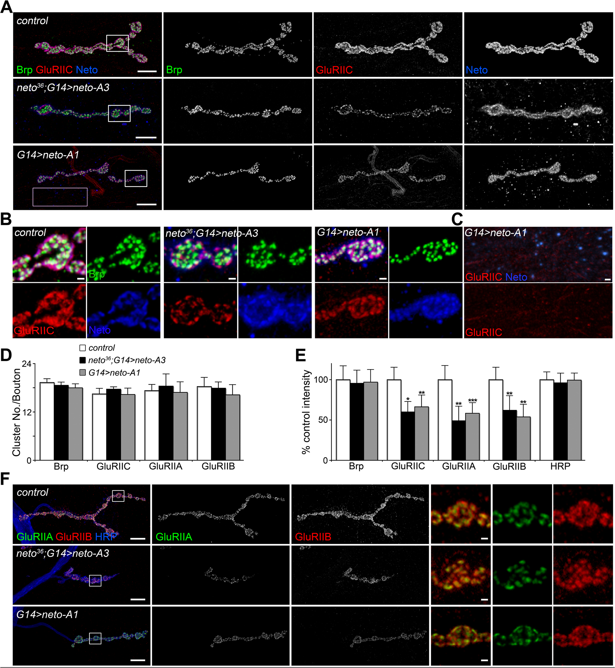 Excess Neto causes reduced iGluR synaptic clusters.