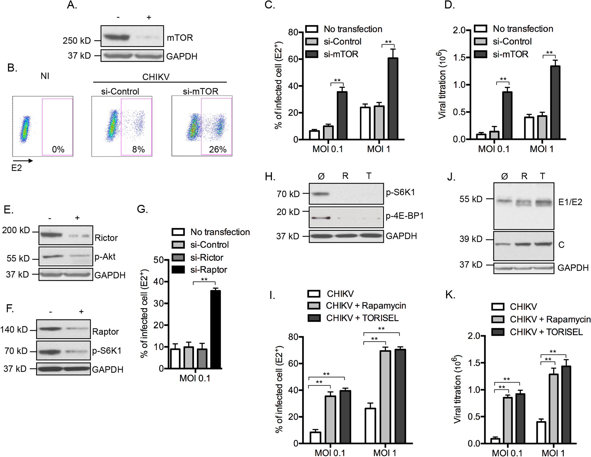 Inhibition of mTORC1 favors CHIKV infection.