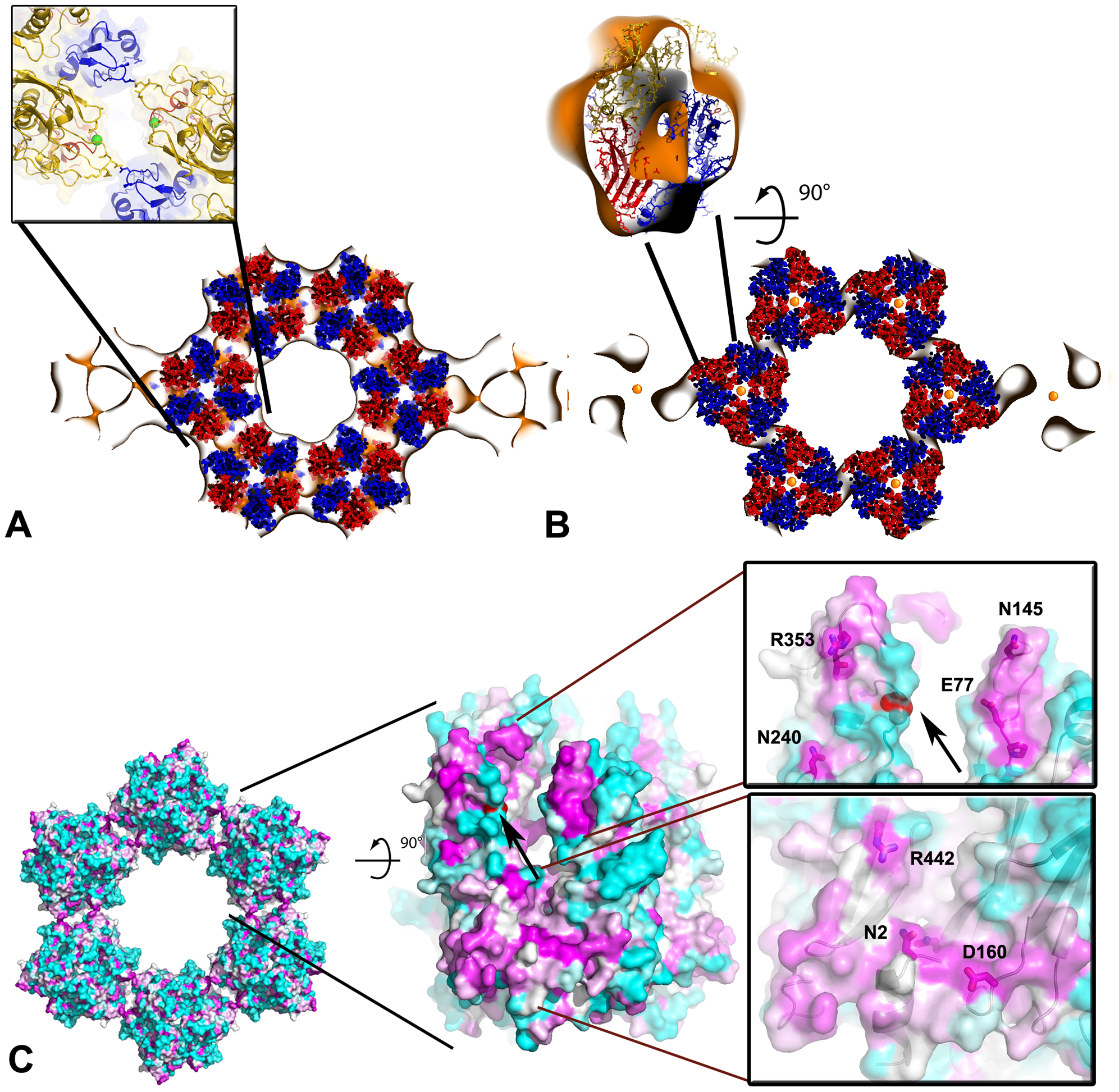 Pseudo-atomic model of the honeycombed assembly of D13.