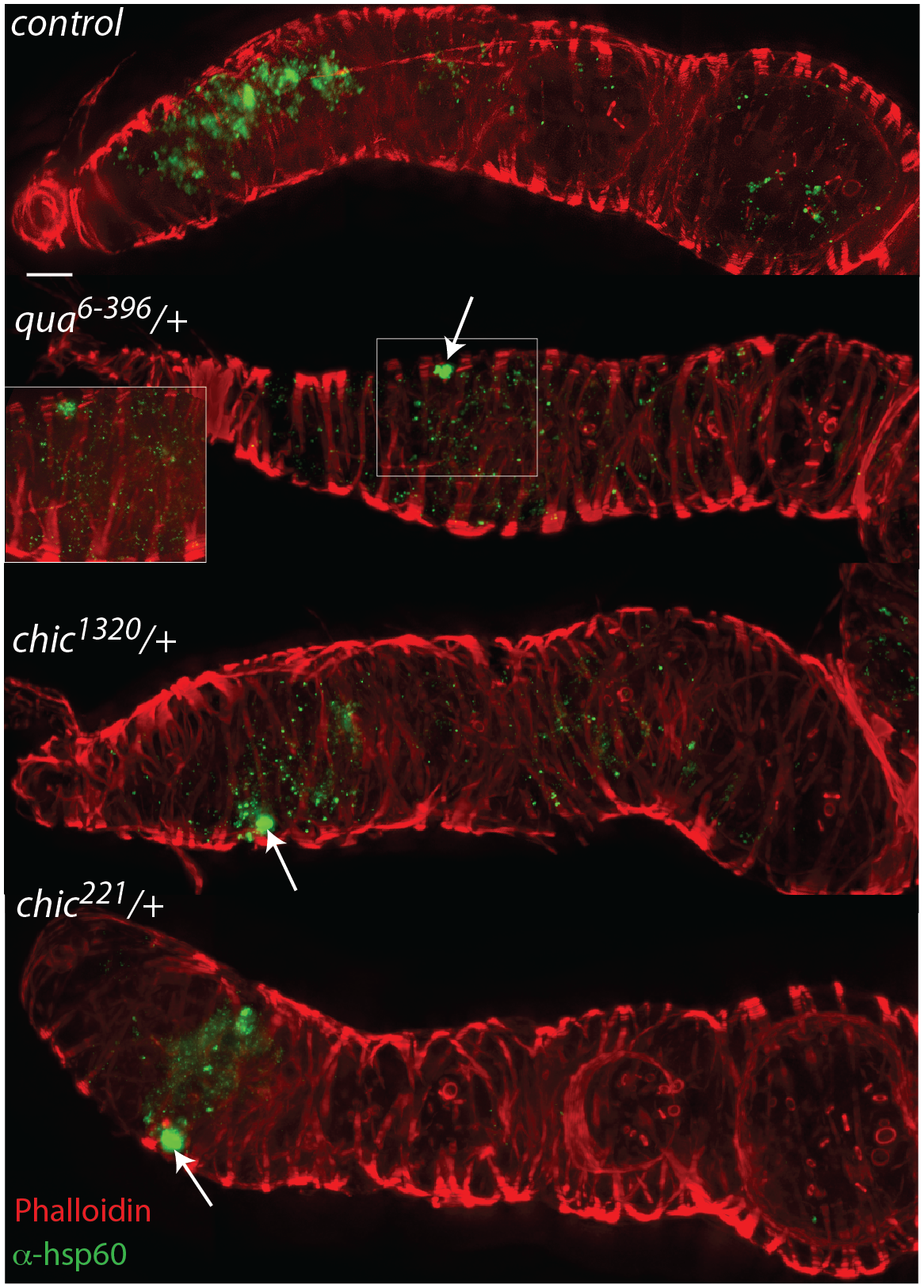 Mutations in actin binding proteins reduce the titer of <i>Wolbachia</i> within the region 2 and early egg chambers in heterozygous mutant flies.