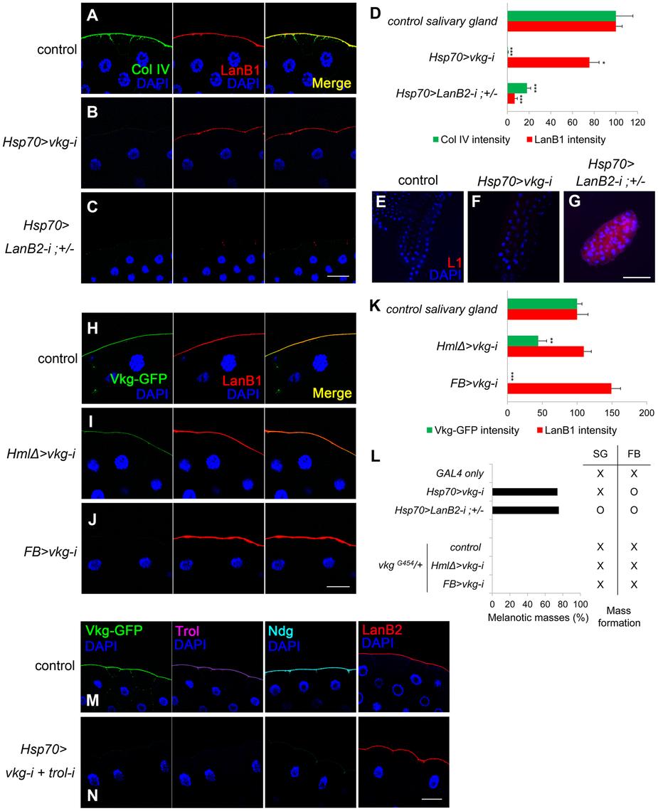 Laminin alone sufficiently blocks melanotic mass formation.