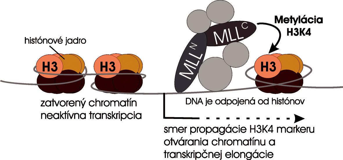Súčasný model úlohy MLL v transkripčnej regulácii. MLL proteín sa viaže na promótory Hox génov a pomocou C-koncovej domény metyluje histón H3 na lyzíne štyri. Otvorená chromatínová štruktúra sa propaguje v smere transkripcie génu posúvaním MLL spolu s elongačným komplexom po génovom lokusu.