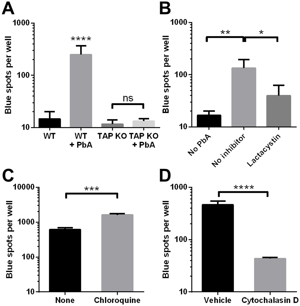 Cross-presentation of PbA antigen by MBECs occurs by the cytosolic pathway.